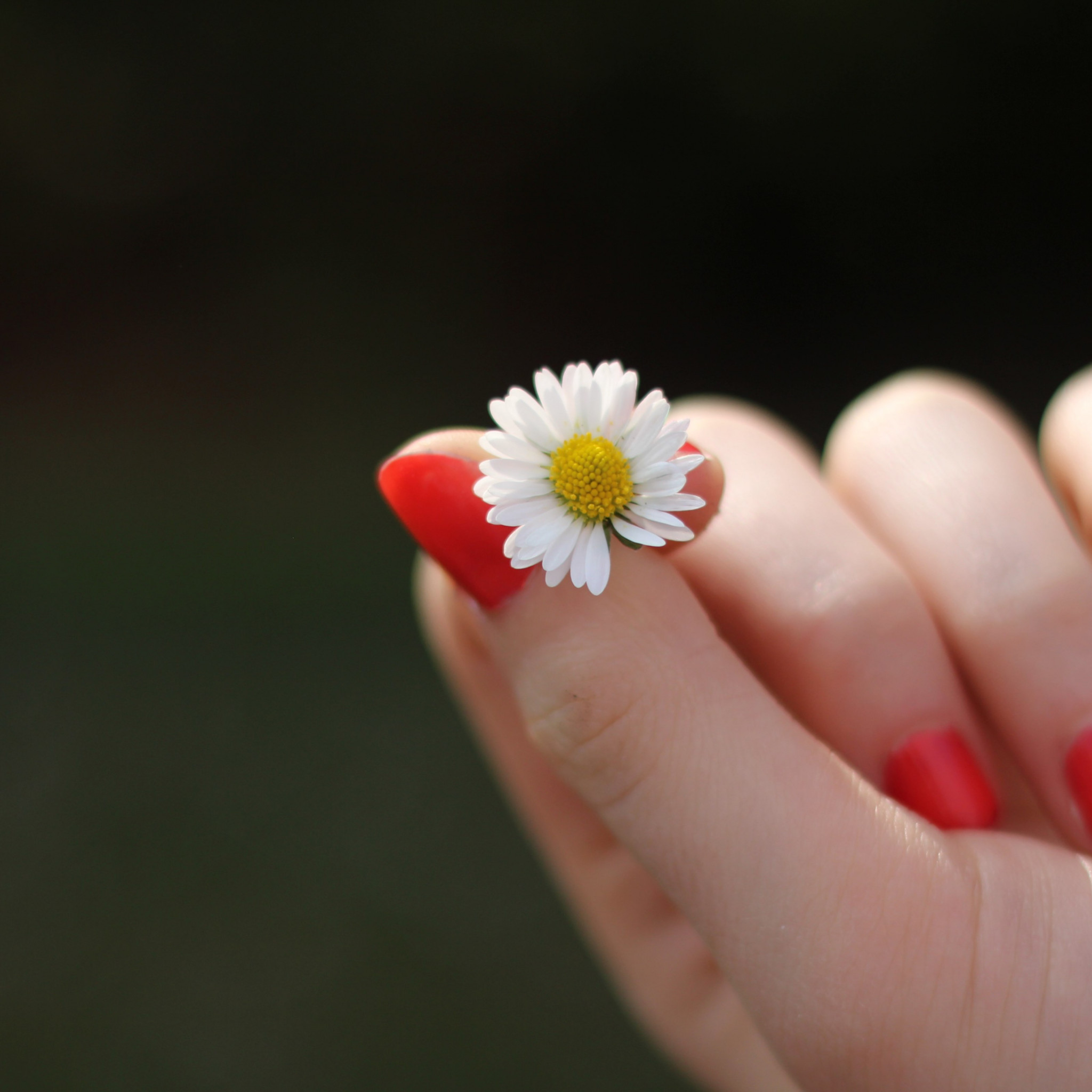 Girl with red nails and a daisy flower wallpaper 2048x2048