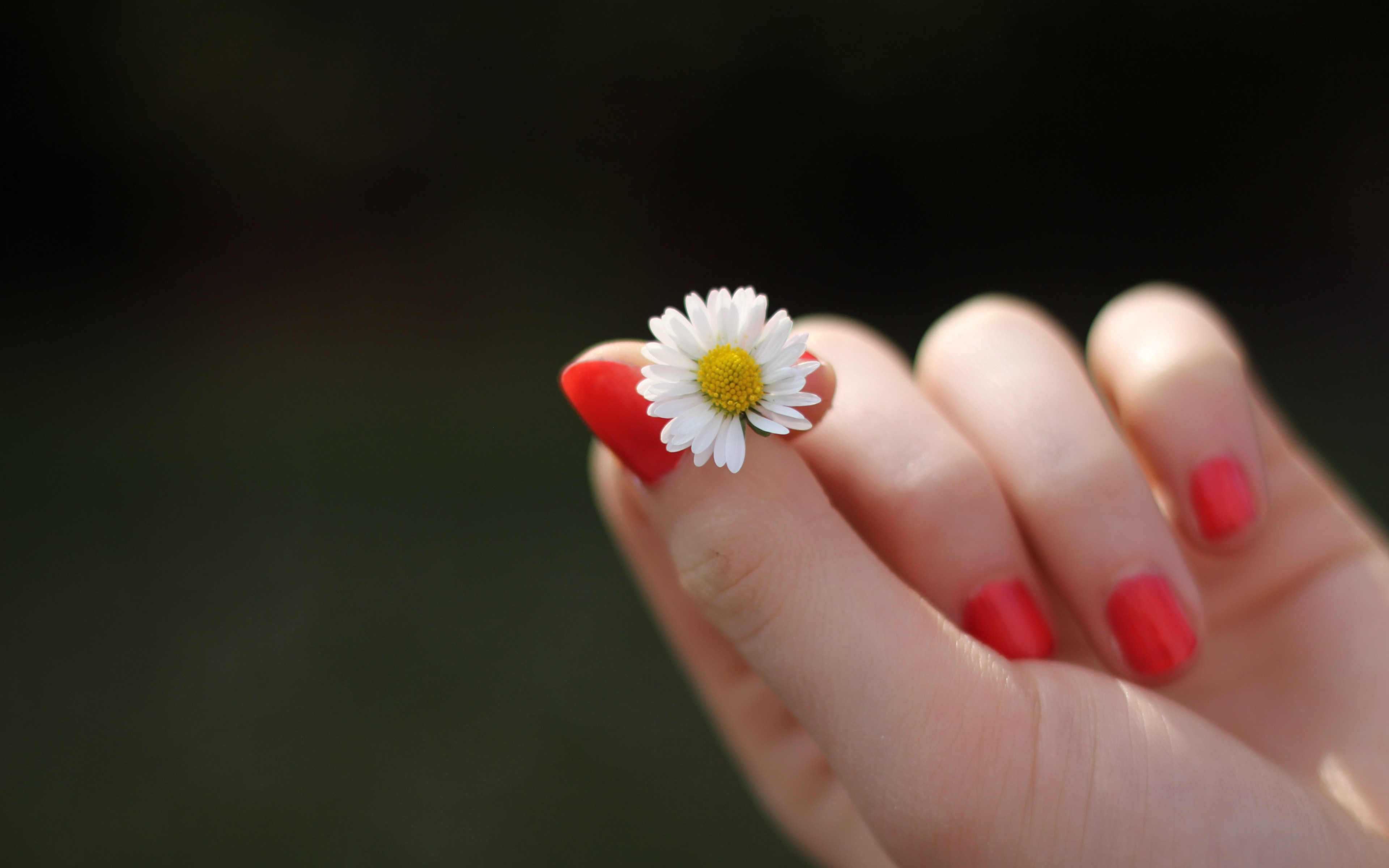 Girl with red nails and a daisy flower wallpaper 3840x2400