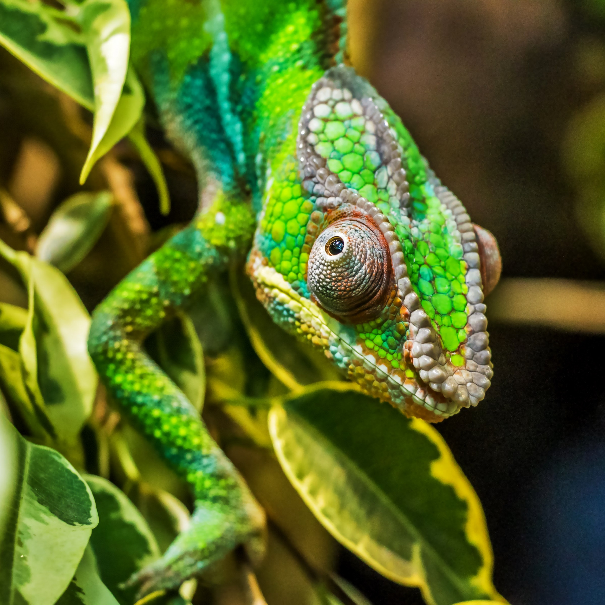 Panther chameleon reptile wallpaper 2048x2048