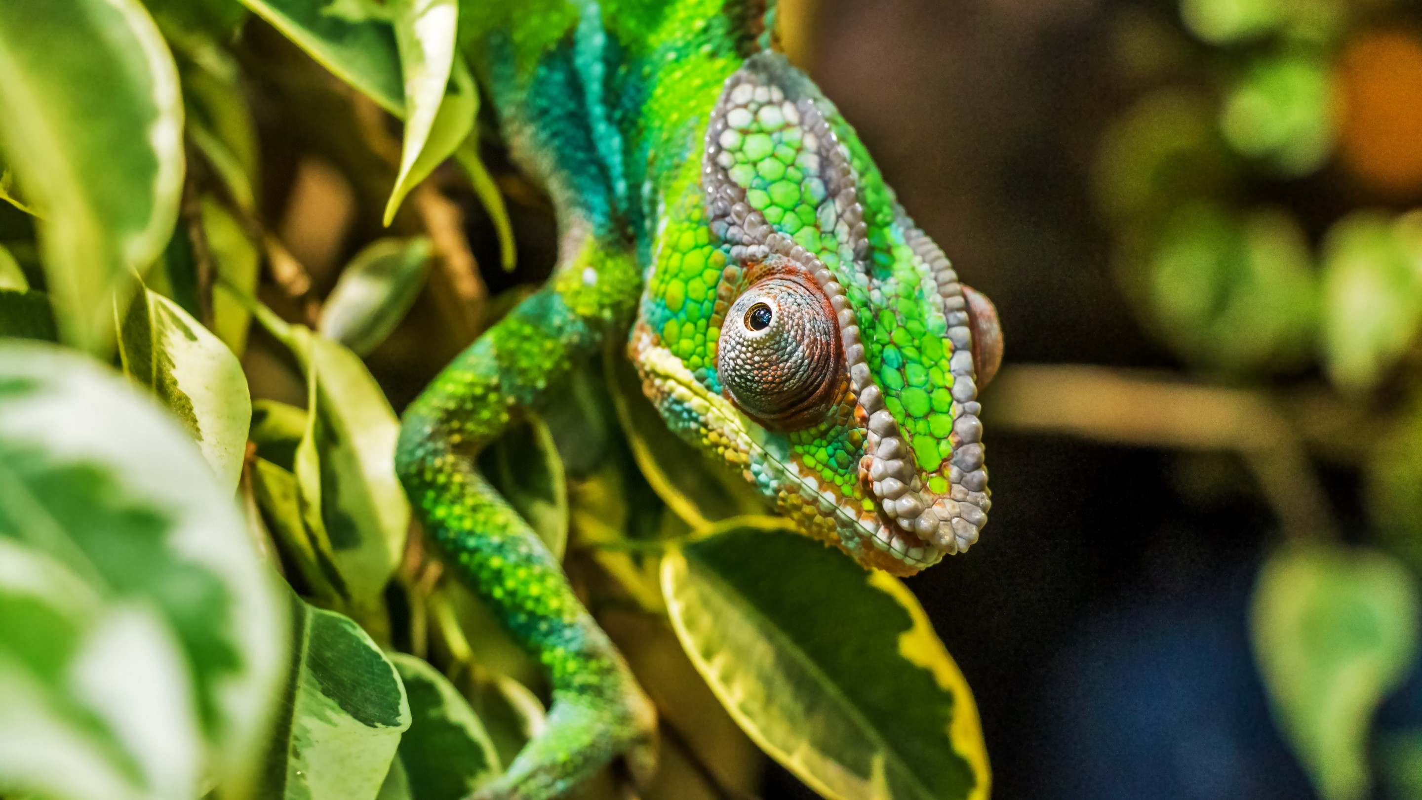 Panther chameleon reptile wallpaper 2880x1620