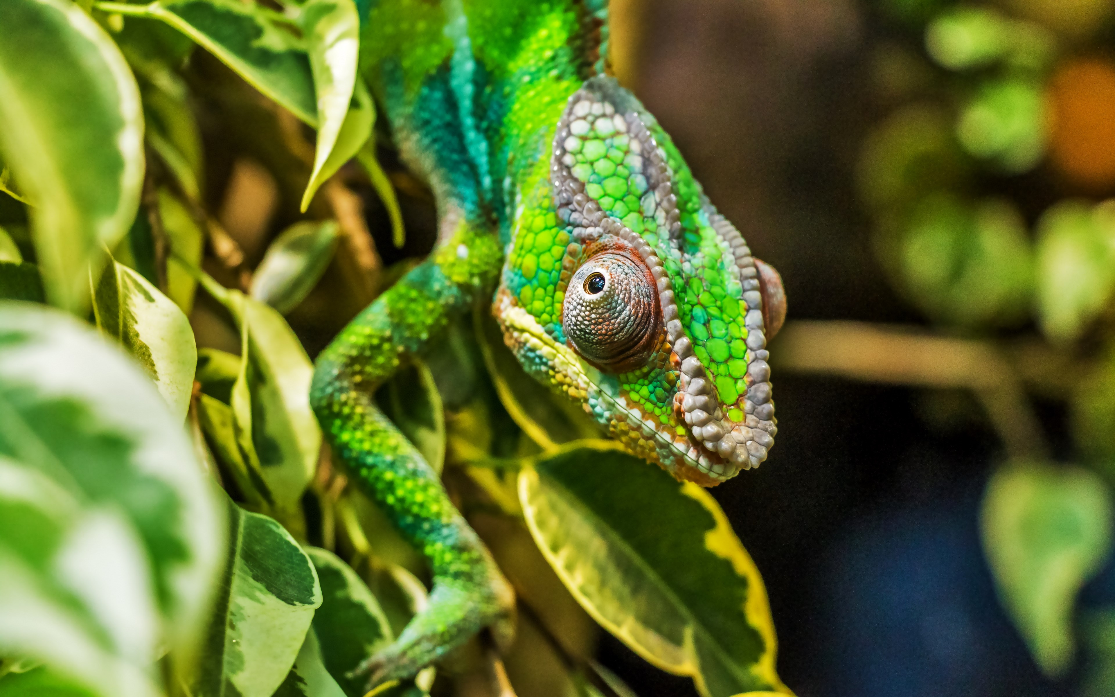 Panther chameleon reptile wallpaper 3840x2400