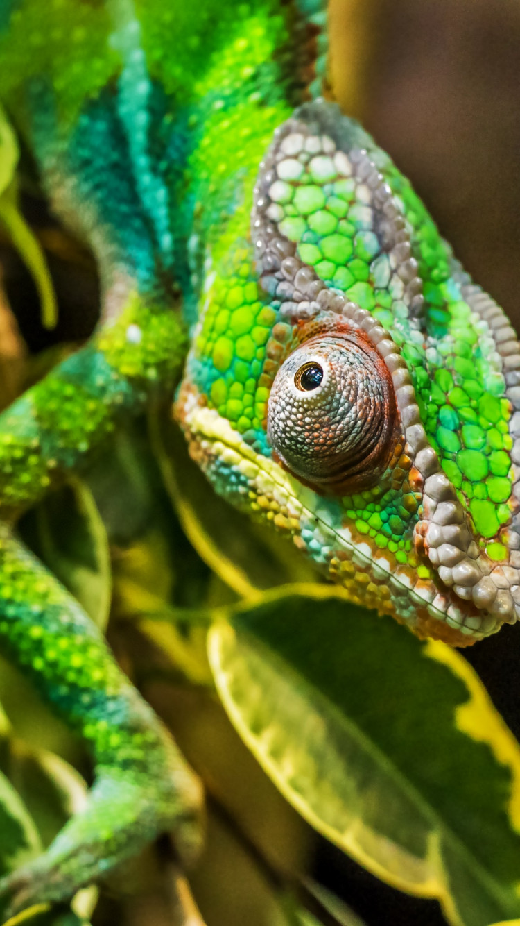 Panther chameleon reptile wallpaper 750x1334