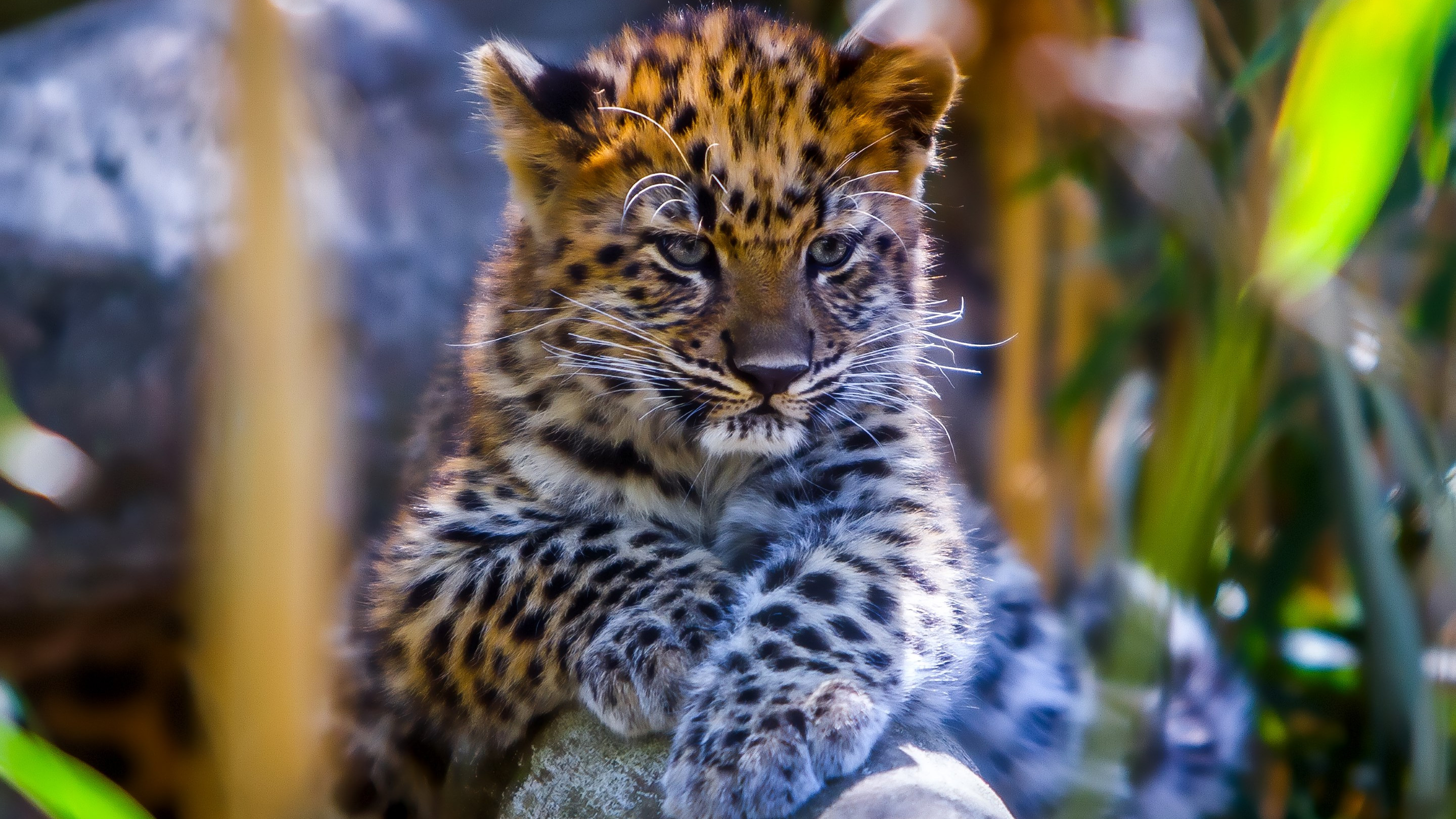 Leopard cub wallpaper 2880x1620