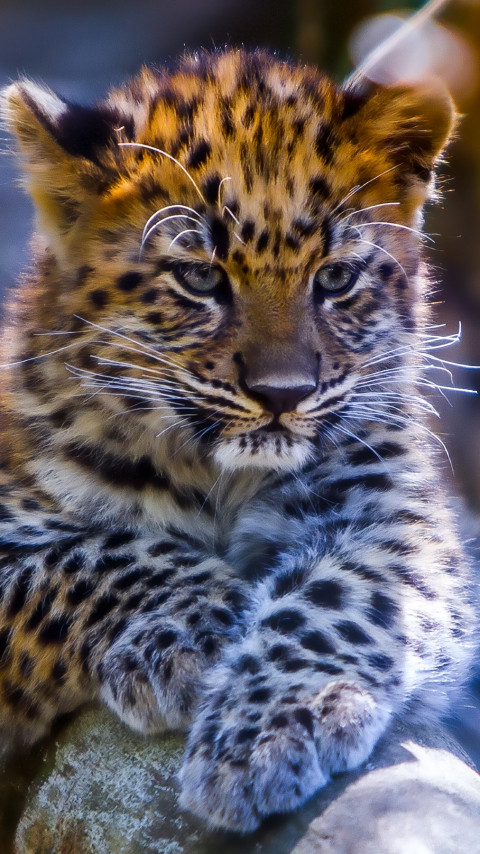 Leopard cub wallpaper 480x854