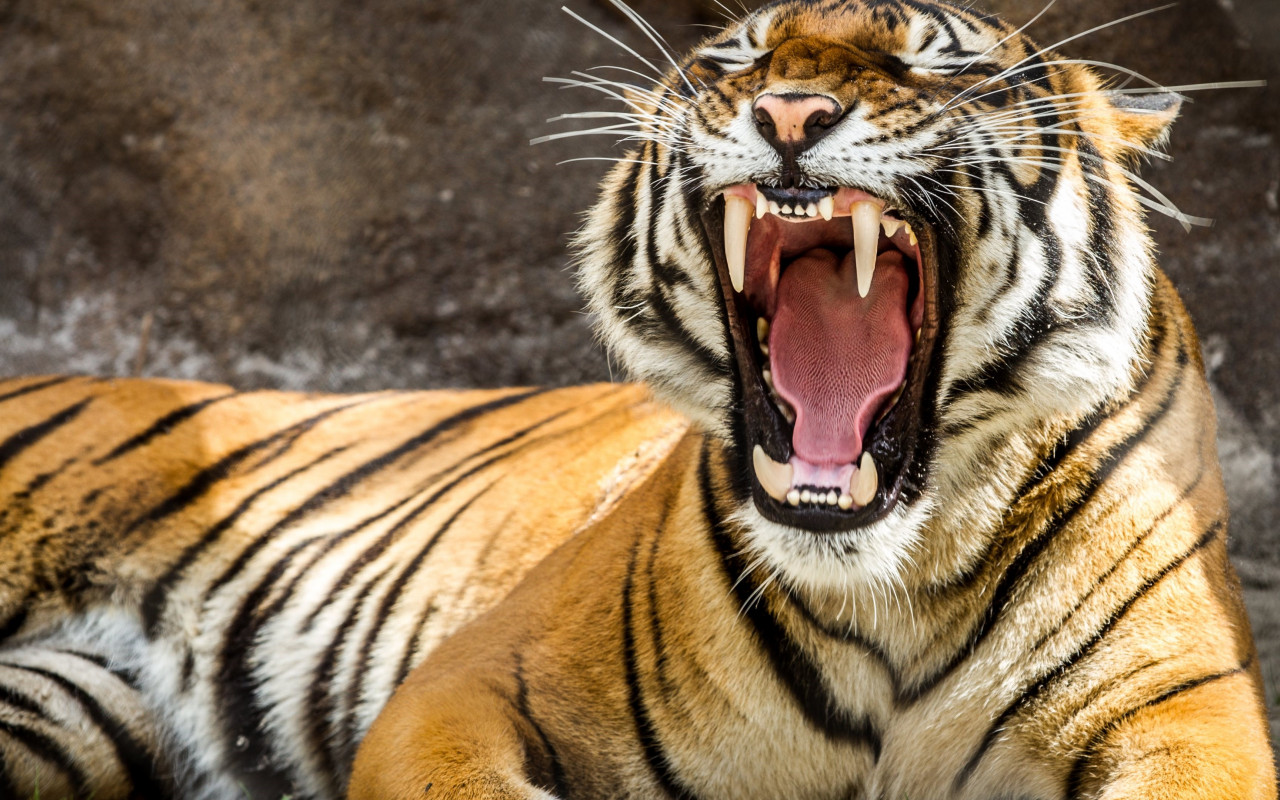 Tiger teeth wallpaper 1280x800