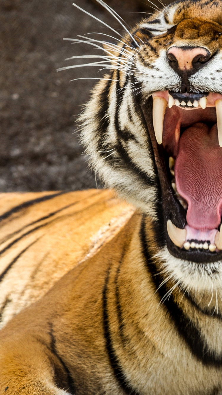 Tiger teeth wallpaper 750x1334