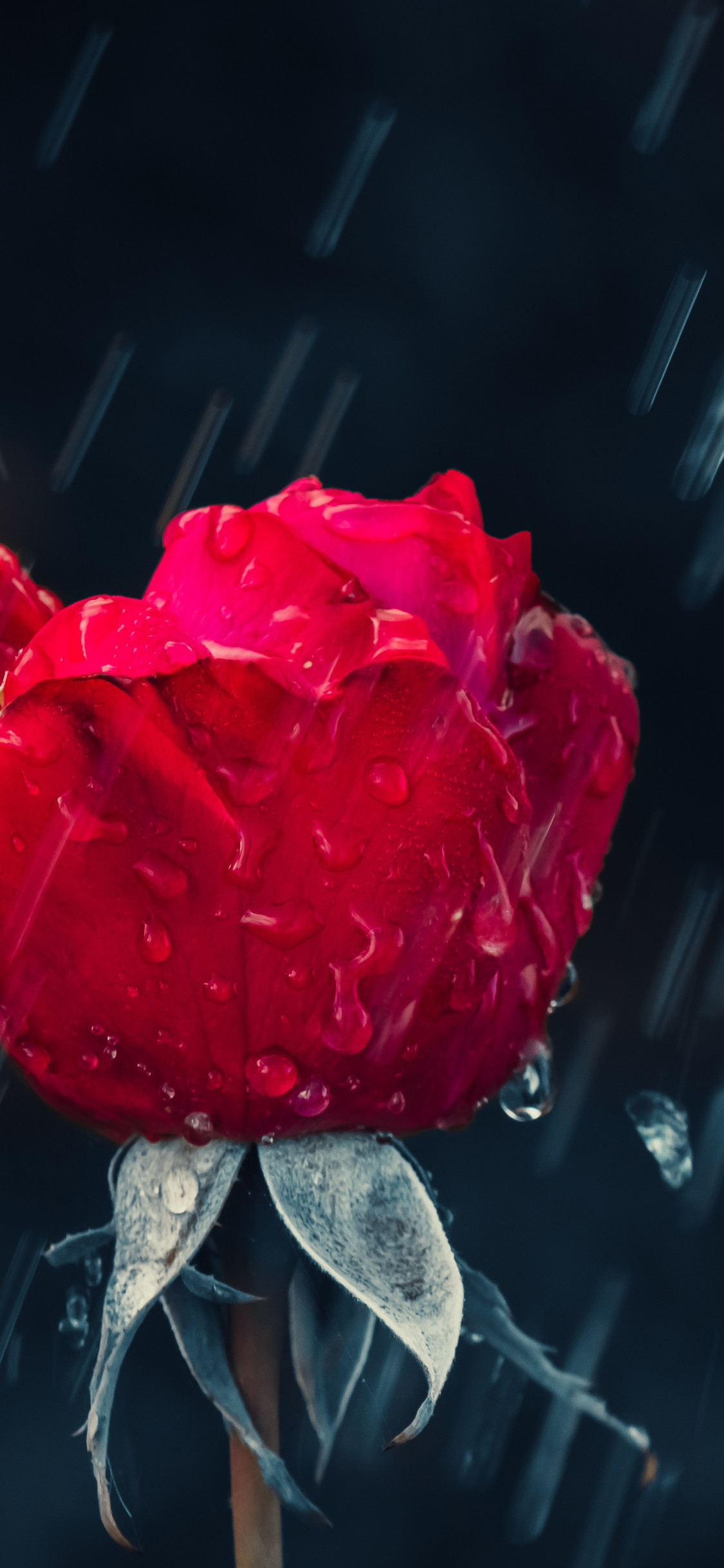 Red rose and raindrops wallpaper 1125x2436