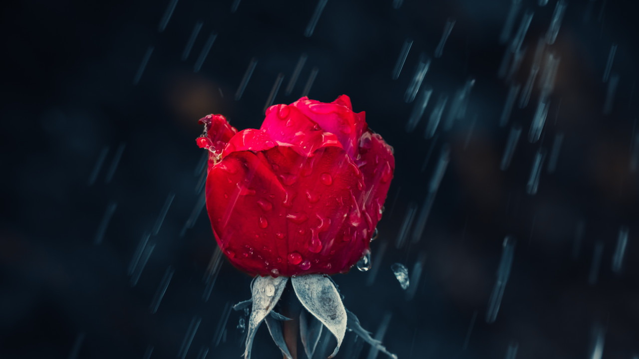 Red rose and raindrops wallpaper 1280x720