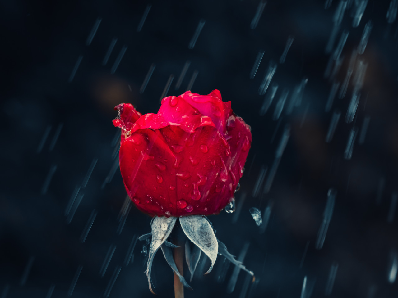 Red rose and raindrops wallpaper 1280x960