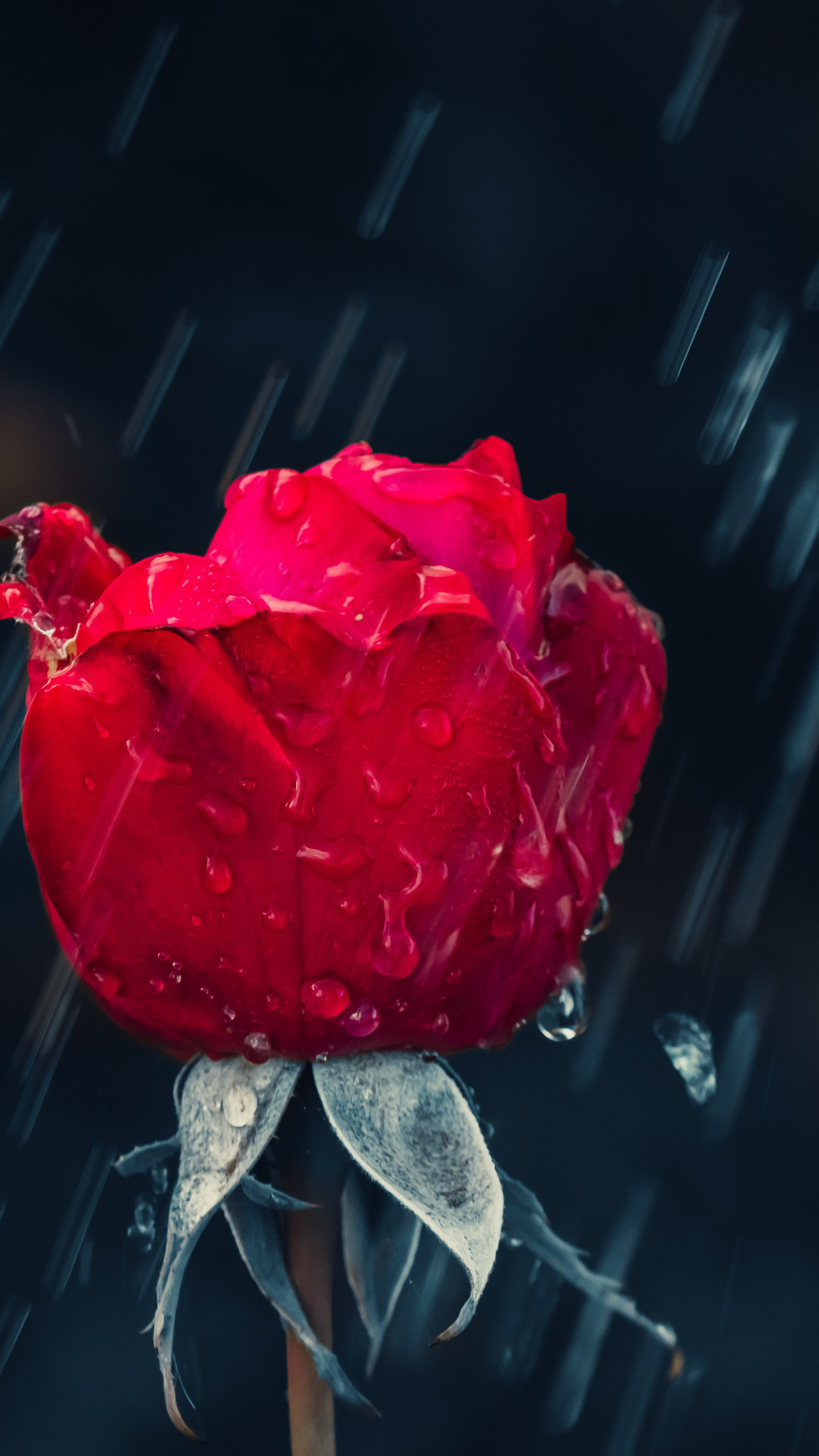 Red rose and raindrops wallpaper 1440x2560