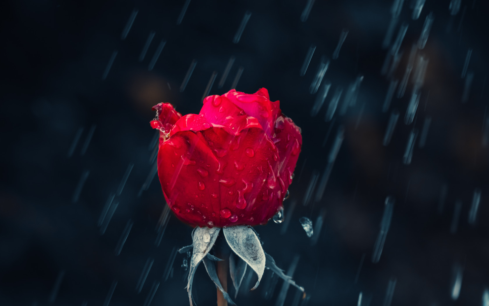 Red rose and raindrops wallpaper 1680x1050