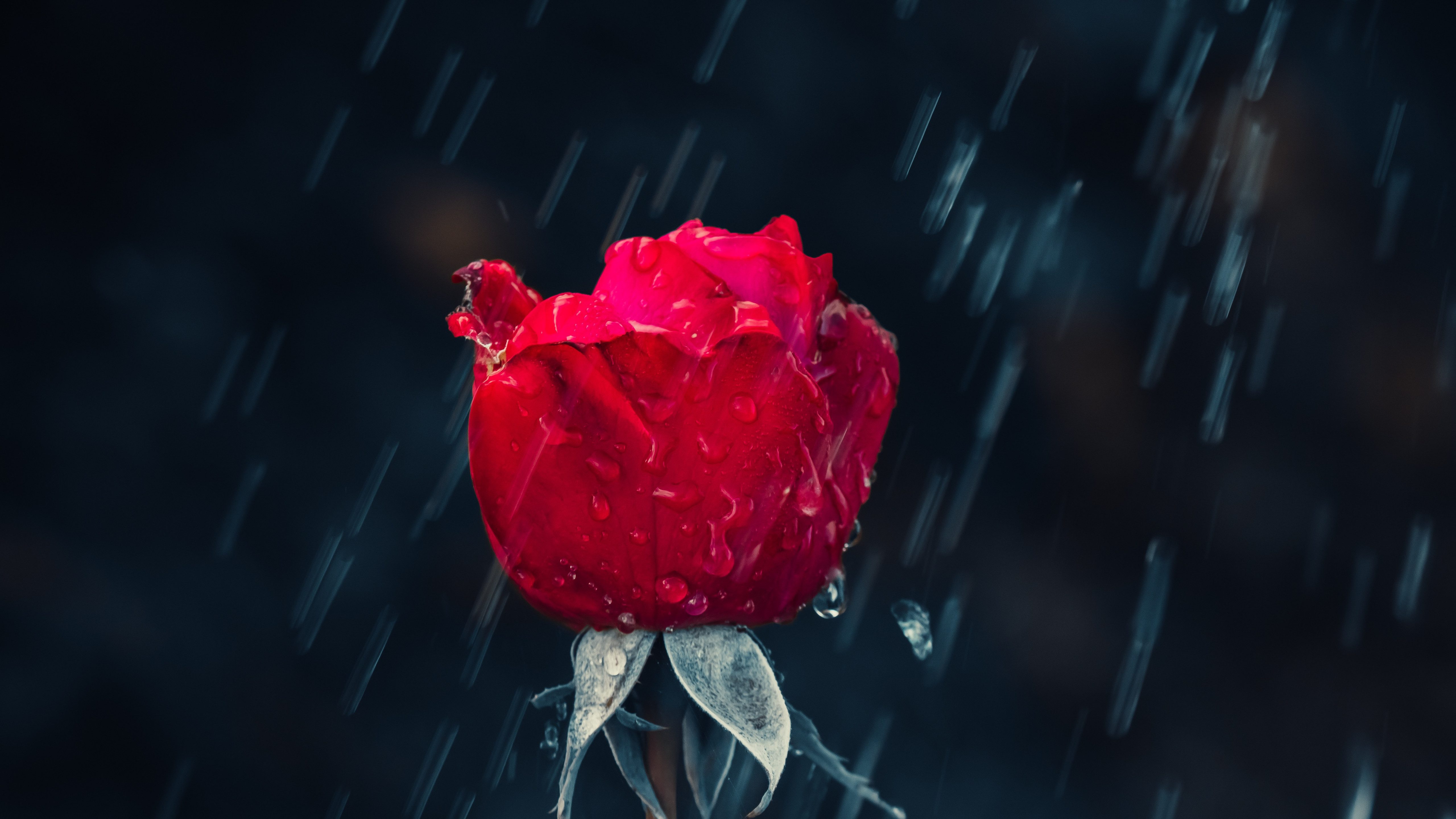 Red rose and raindrops wallpaper 5120x2880