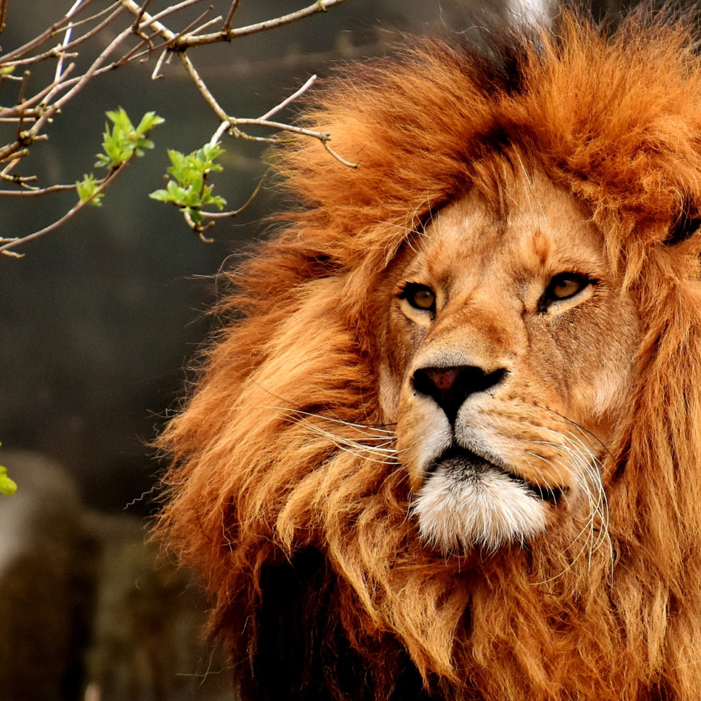 Best lion male portrait | 1024x1024 wallpaper