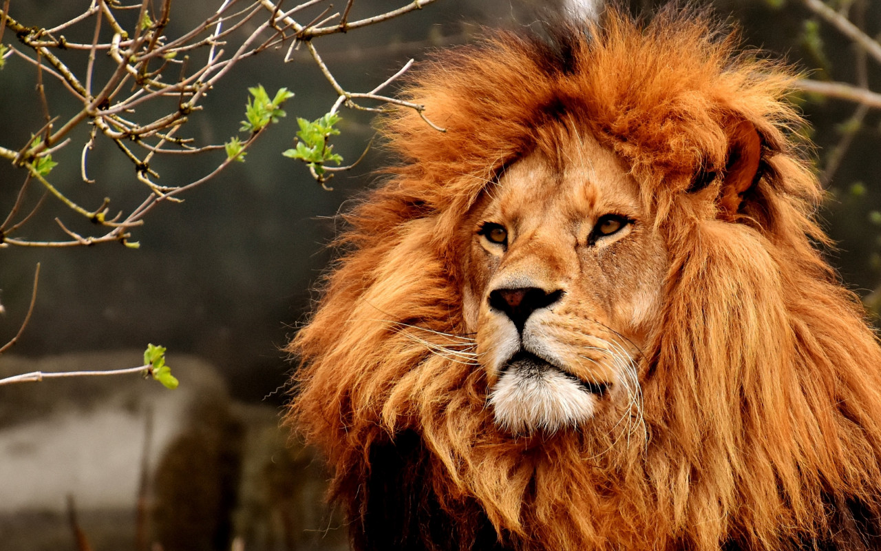 Best lion male portrait wallpaper 1280x800