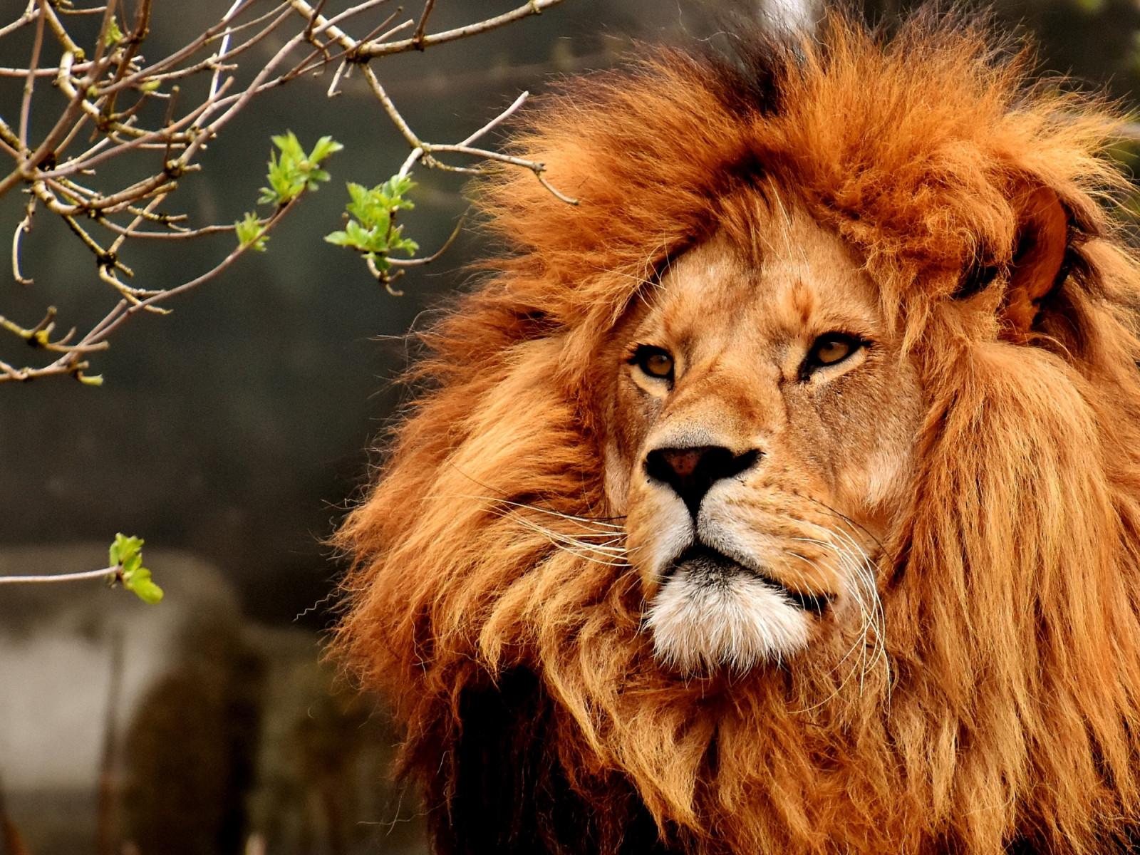 Download Wallpaper Best Lion Male Portrait 1600x1200