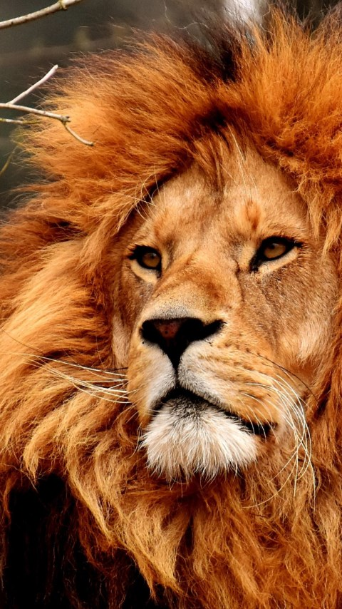 Best lion male portrait wallpaper 480x854