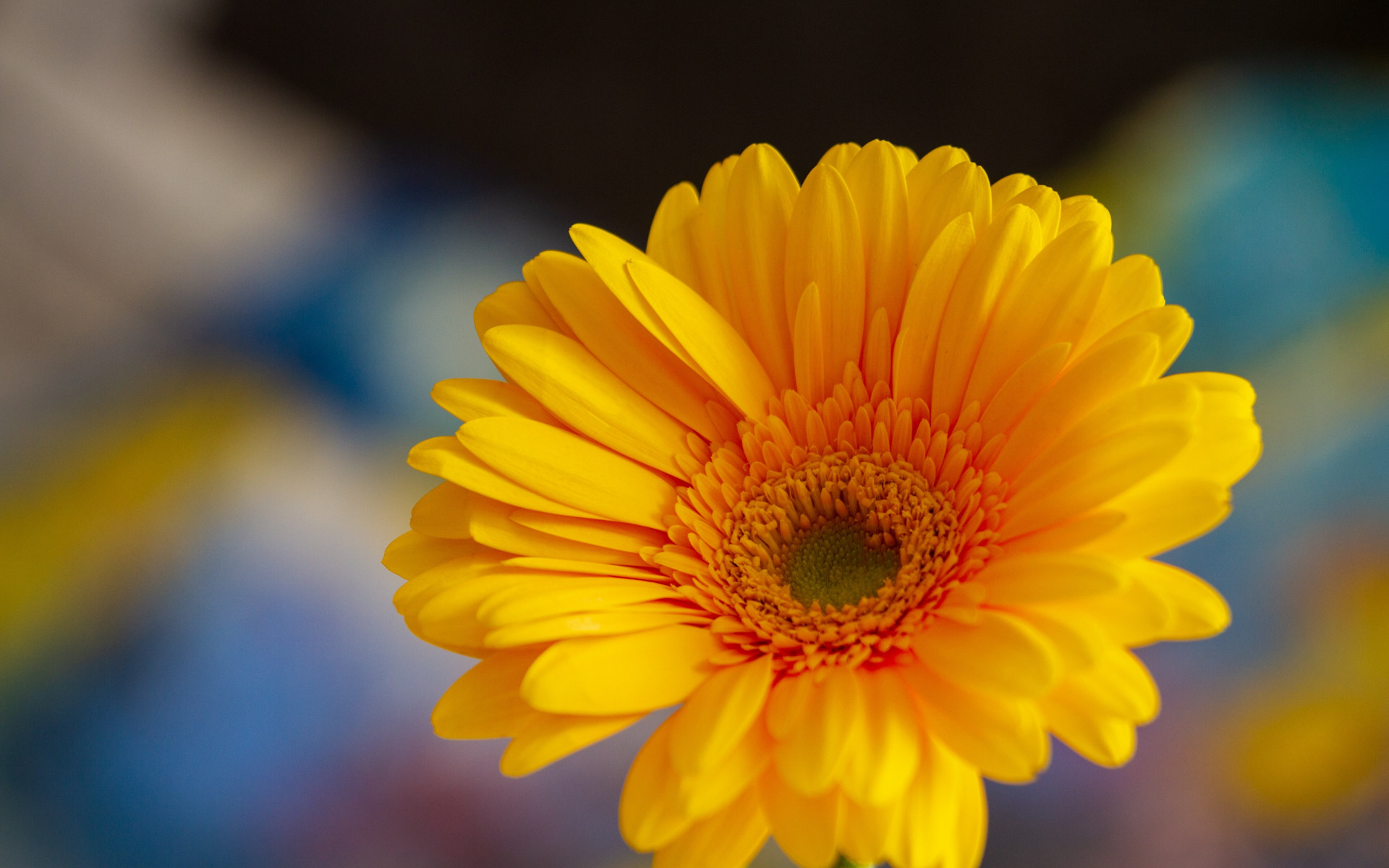 Gerbera flower | 1920x1200 wallpaper