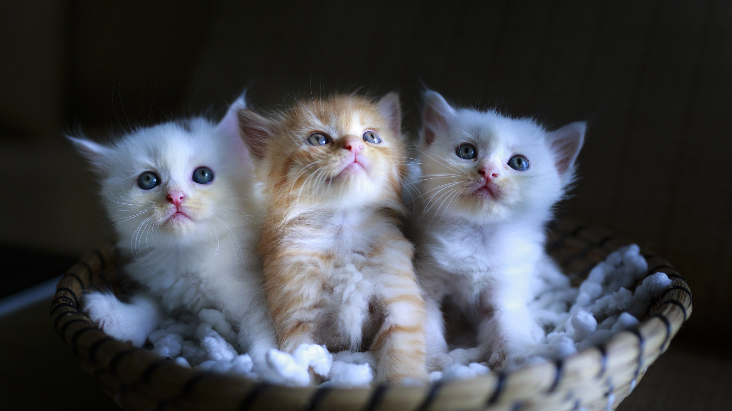 Three cute kittens wallpaper 2560x1440