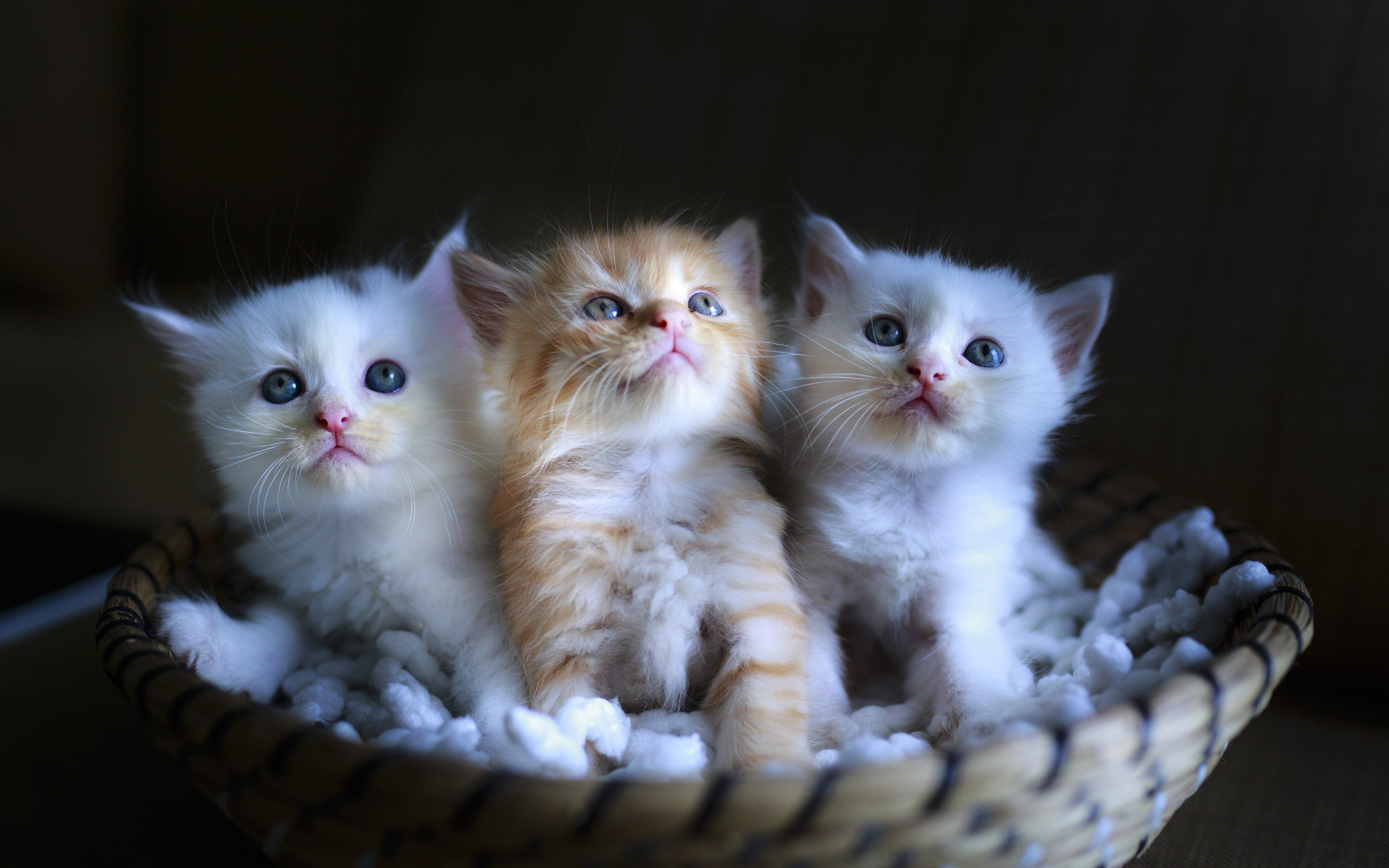 Three cute kittens wallpaper 3840x2400