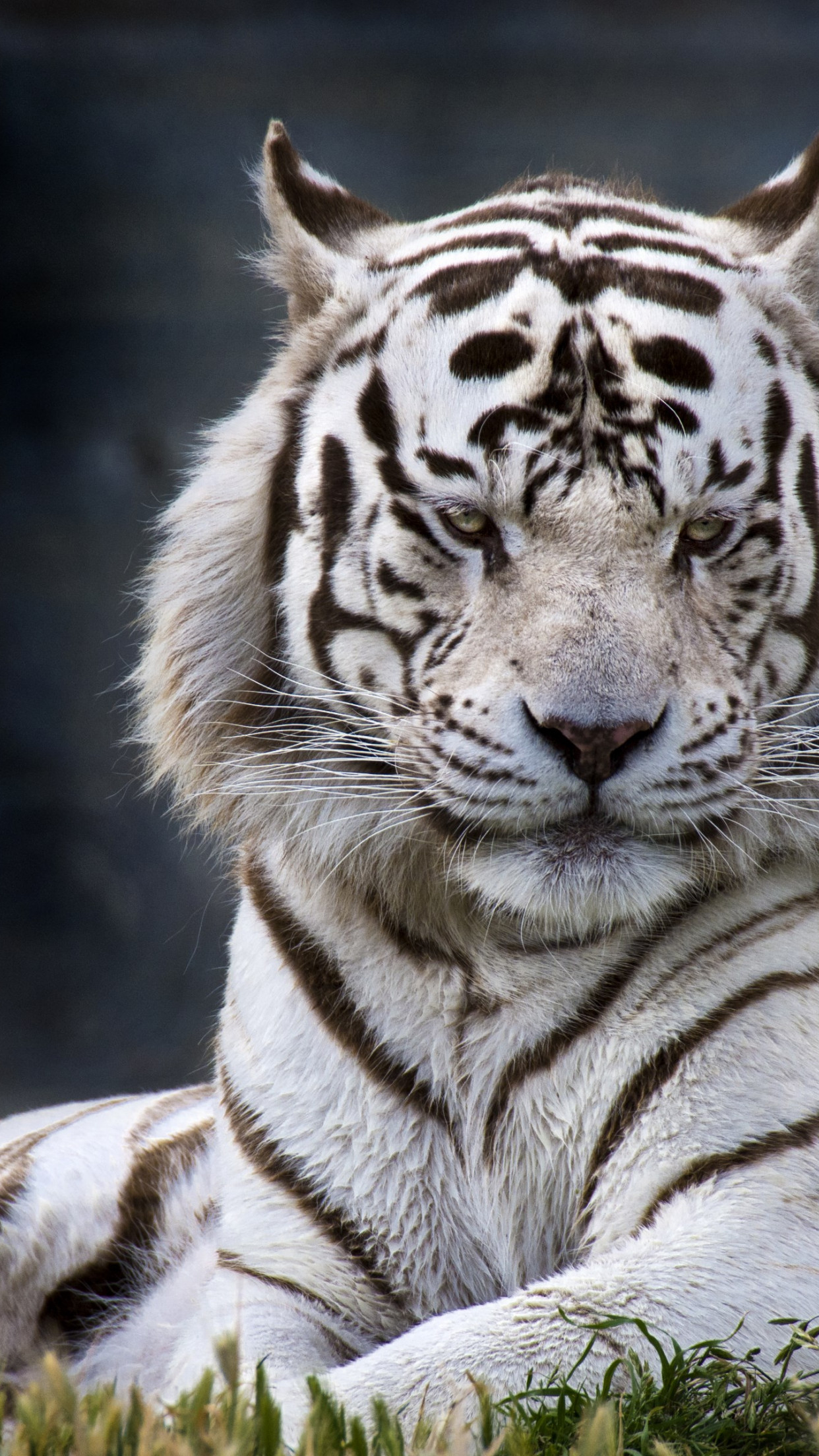 The white tiger from Madrid Zoo | 1242x2208 wallpaper