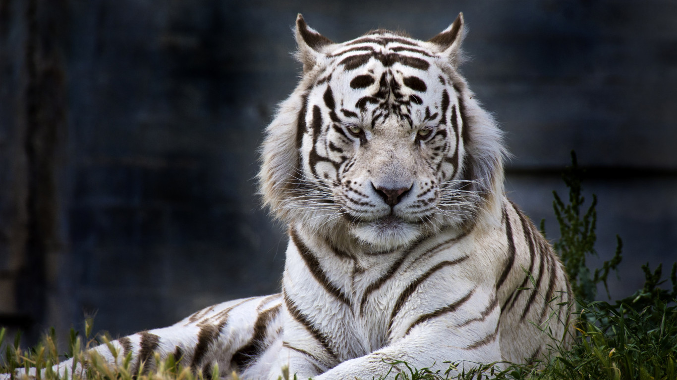 The white tiger from Madrid Zoo wallpaper 1366x768