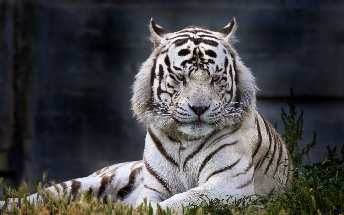 The white tiger from Madrid Zoo wallpaper 1440x900