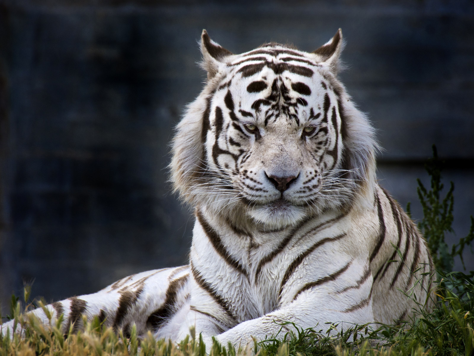 The white tiger from Madrid Zoo wallpaper 1600x1200