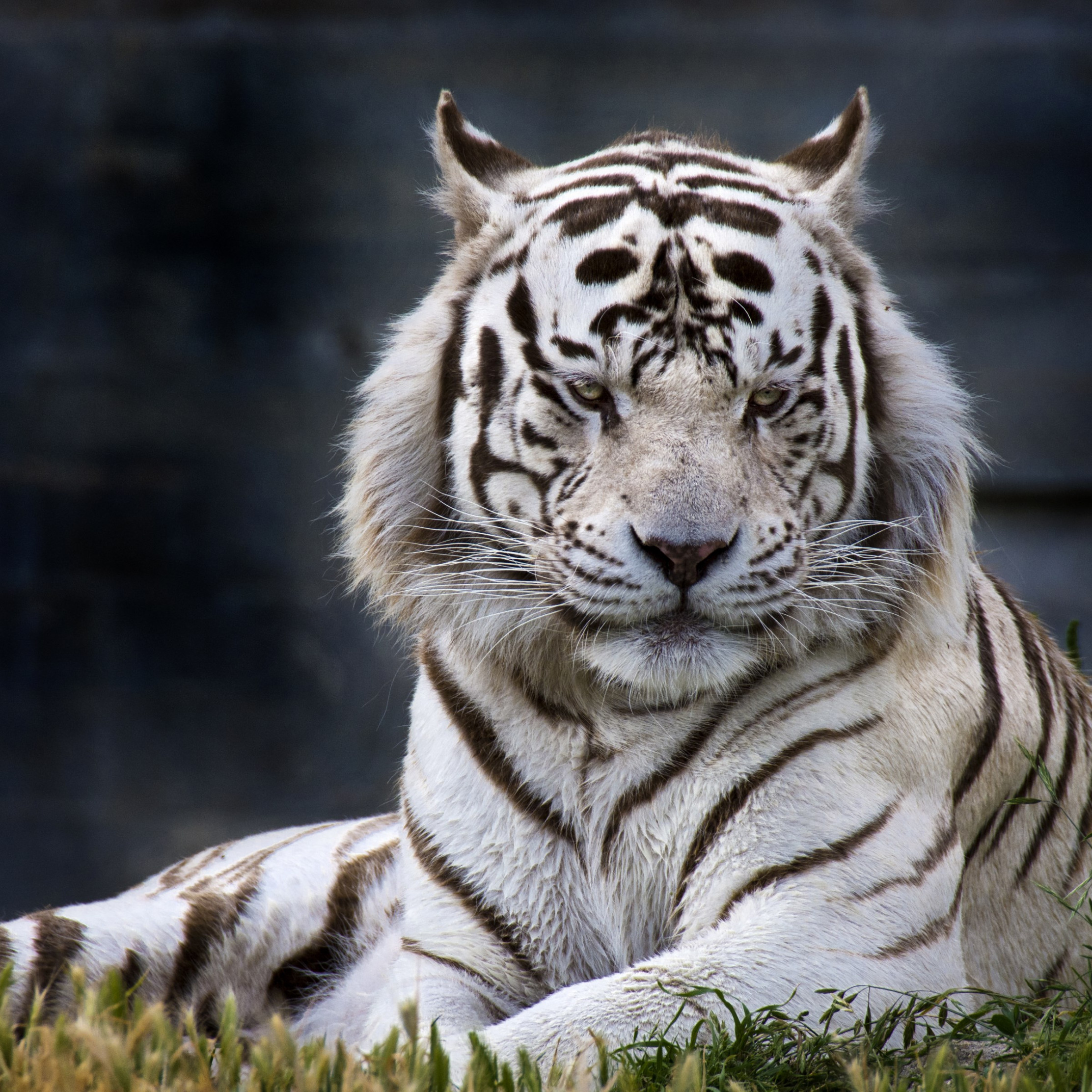 The white tiger from Madrid Zoo | 2224x2224 wallpaper