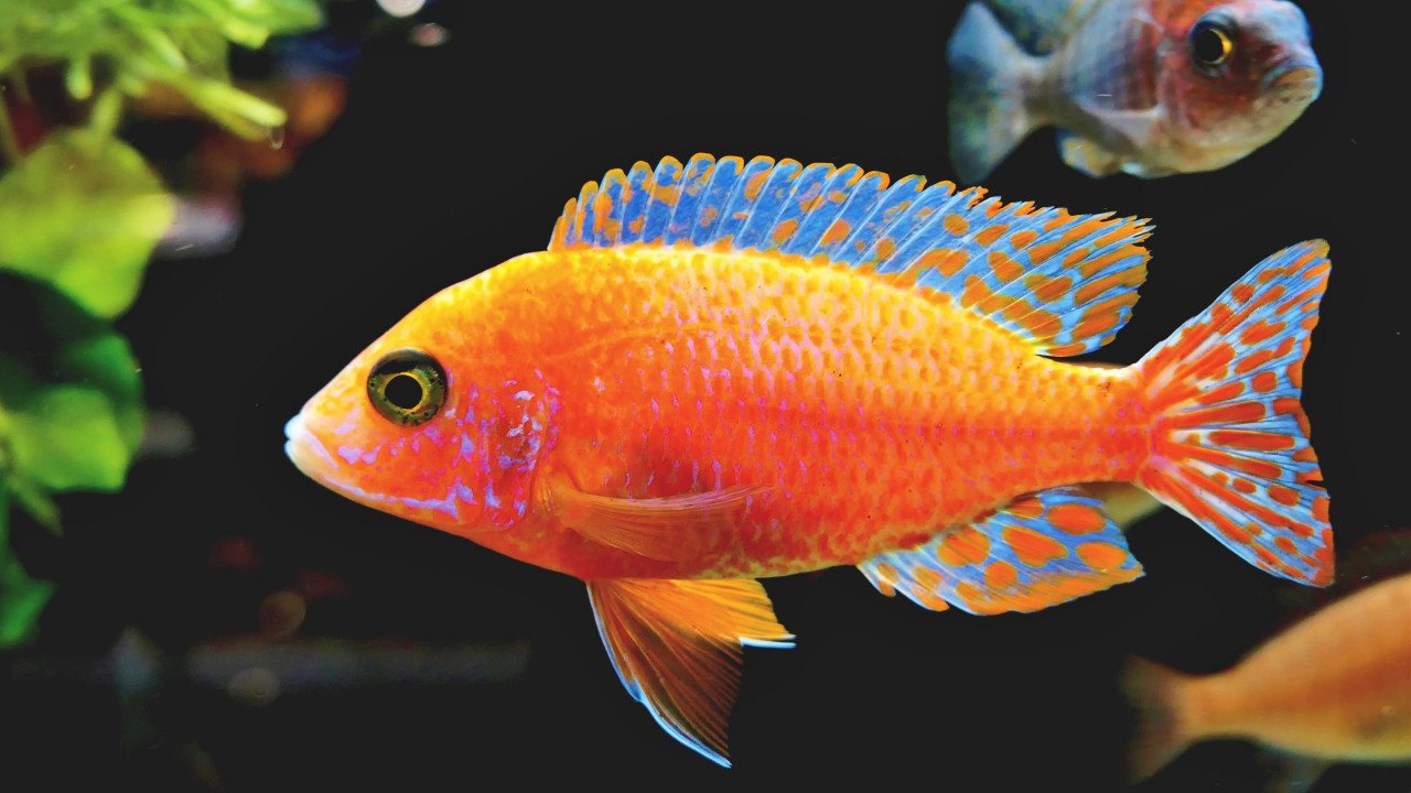 Fairy Wrasse fish | 1280x720 wallpaper