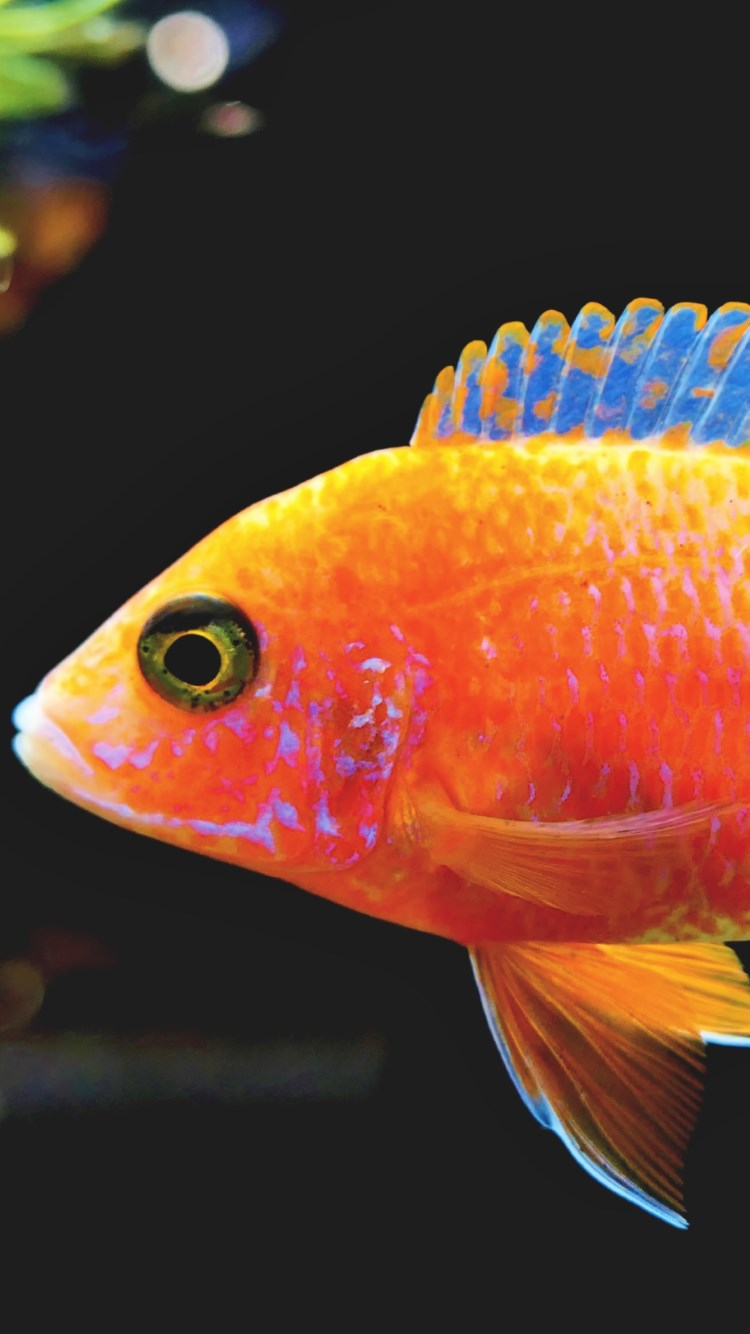 Fairy Wrasse fish | 750x1334 wallpaper