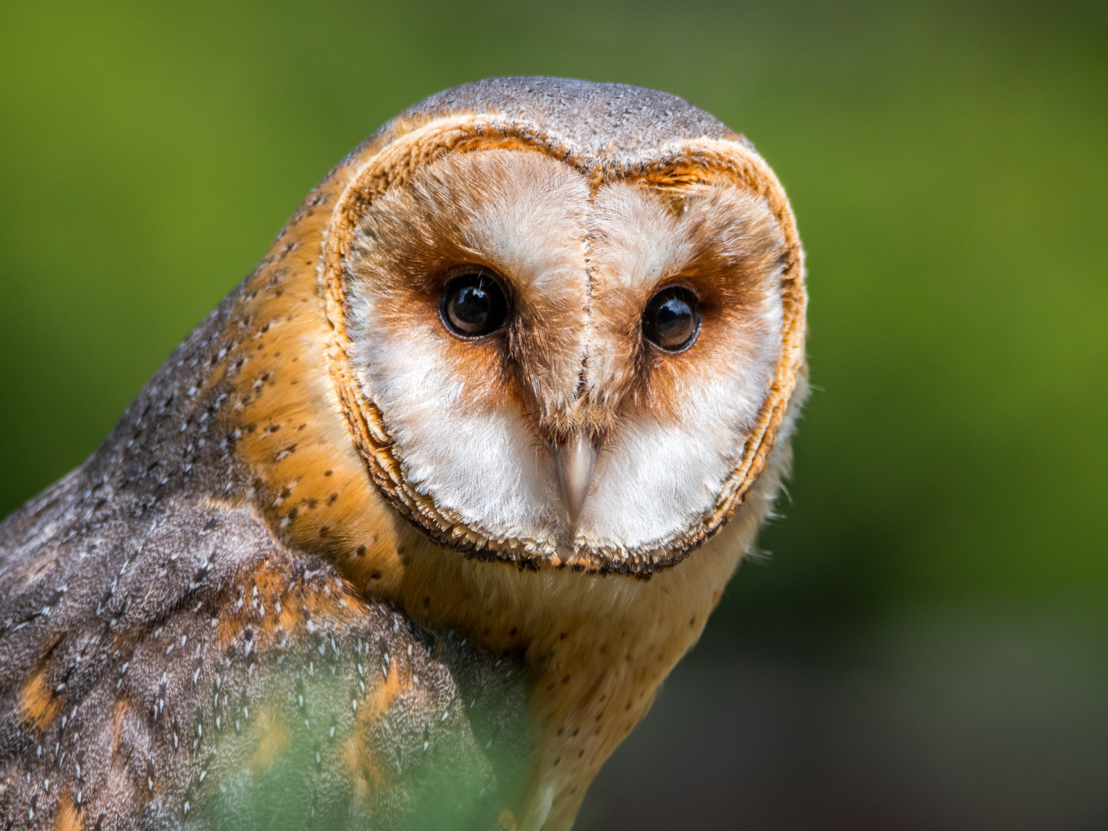 Barn Owl wallpaper 1600x1200