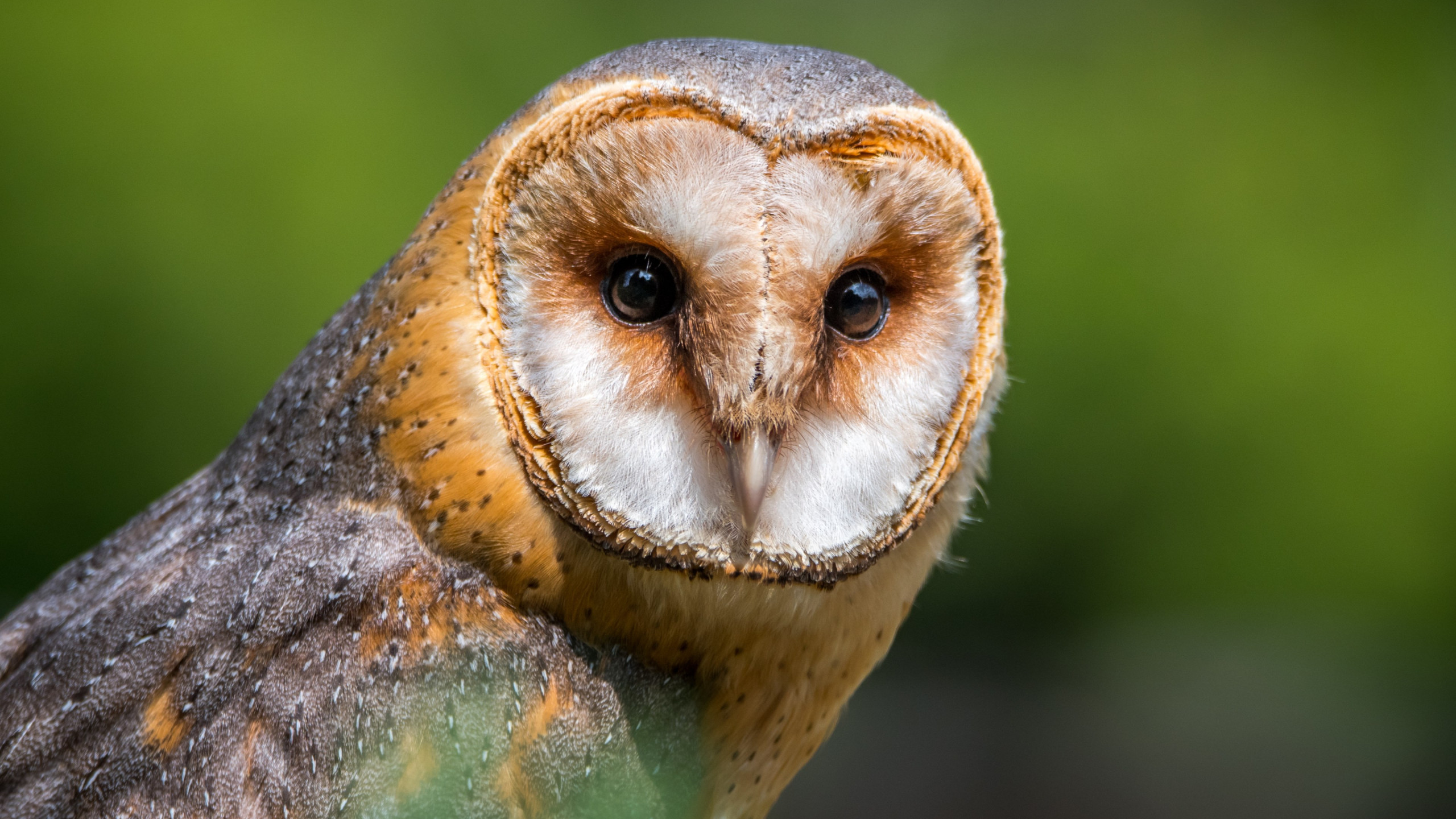 Barn Owl wallpaper 2560x1440