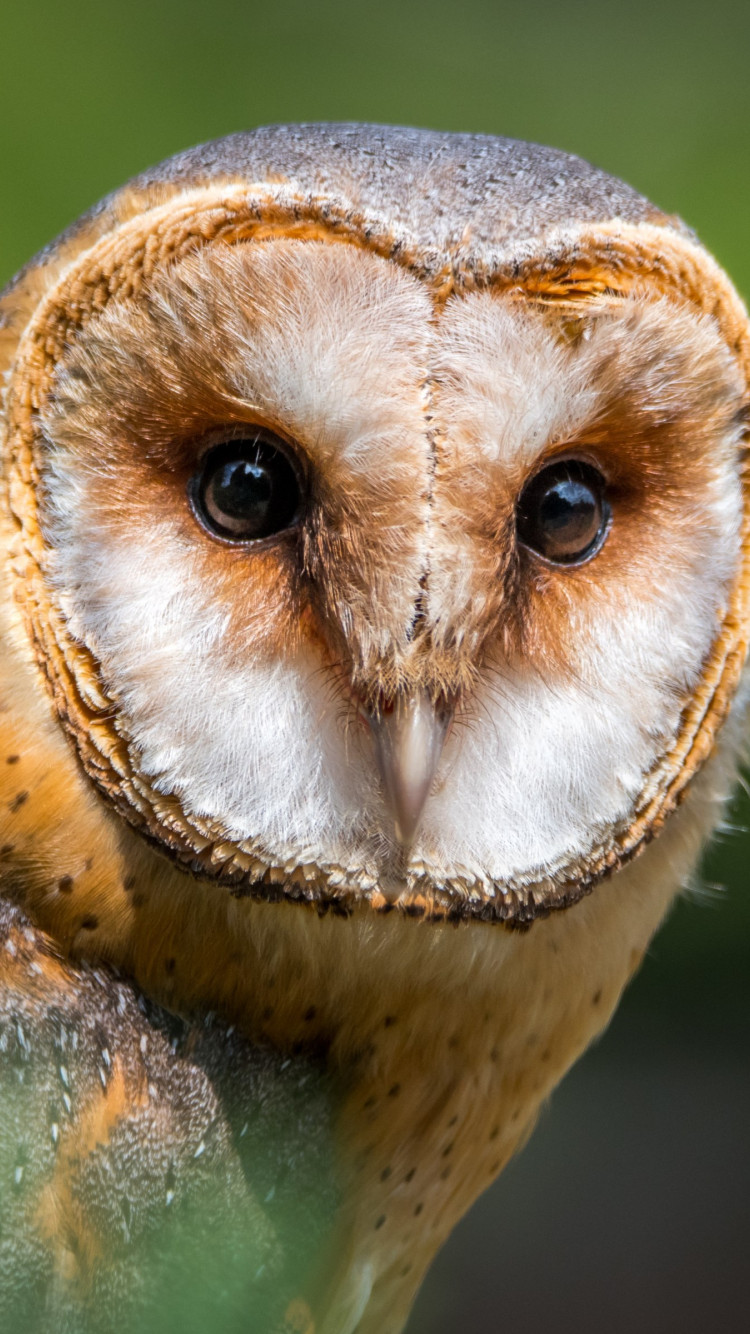 Barn Owl wallpaper 750x1334