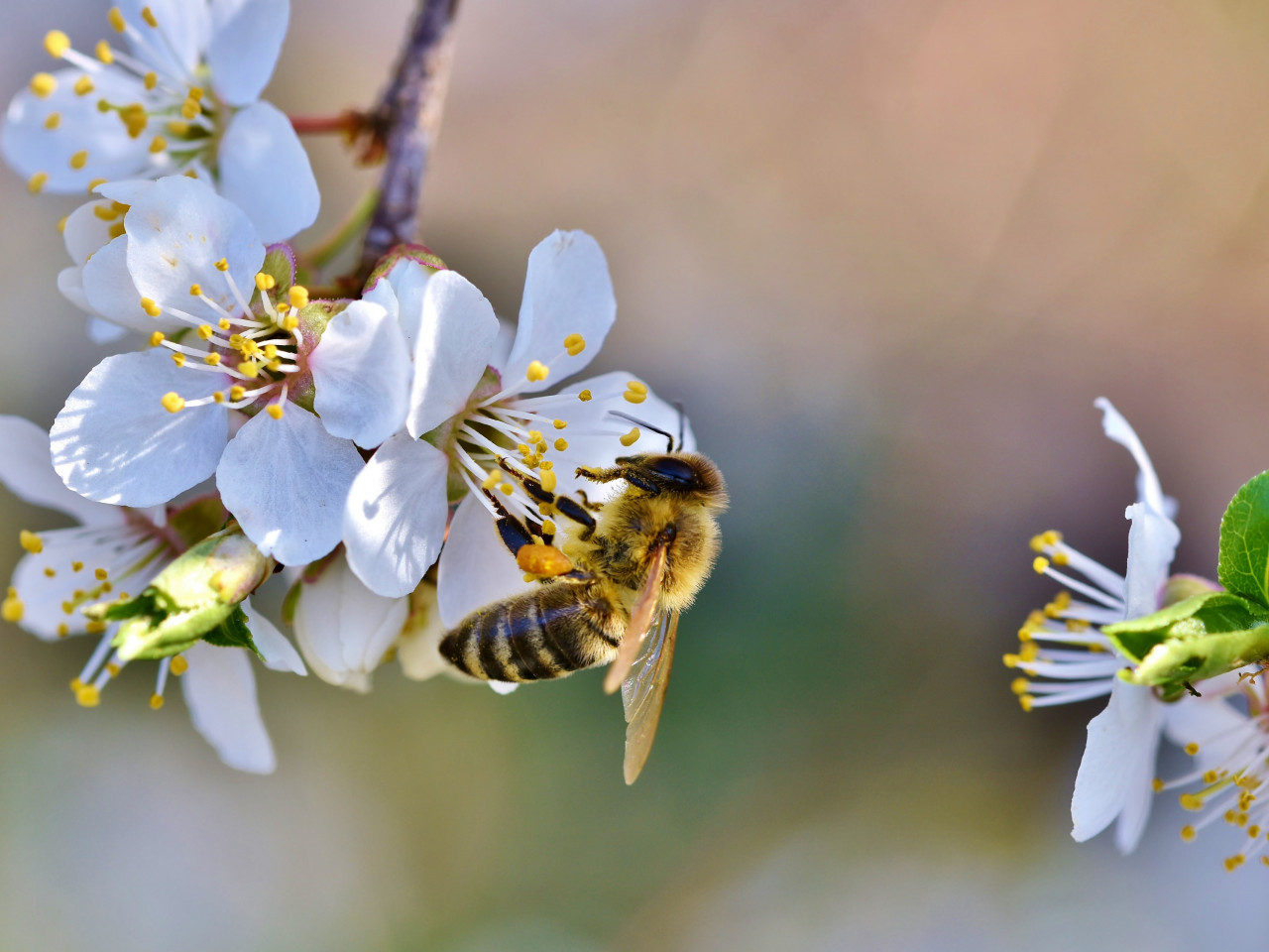 Spring, bee, blossoms, flower wallpaper 1280x960