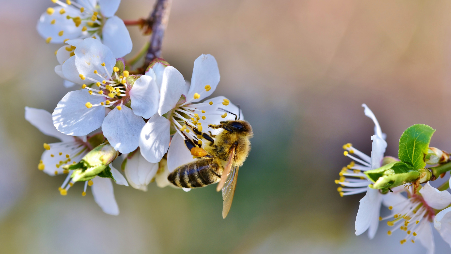 Spring, bee, blossoms, flower wallpaper 1920x1080