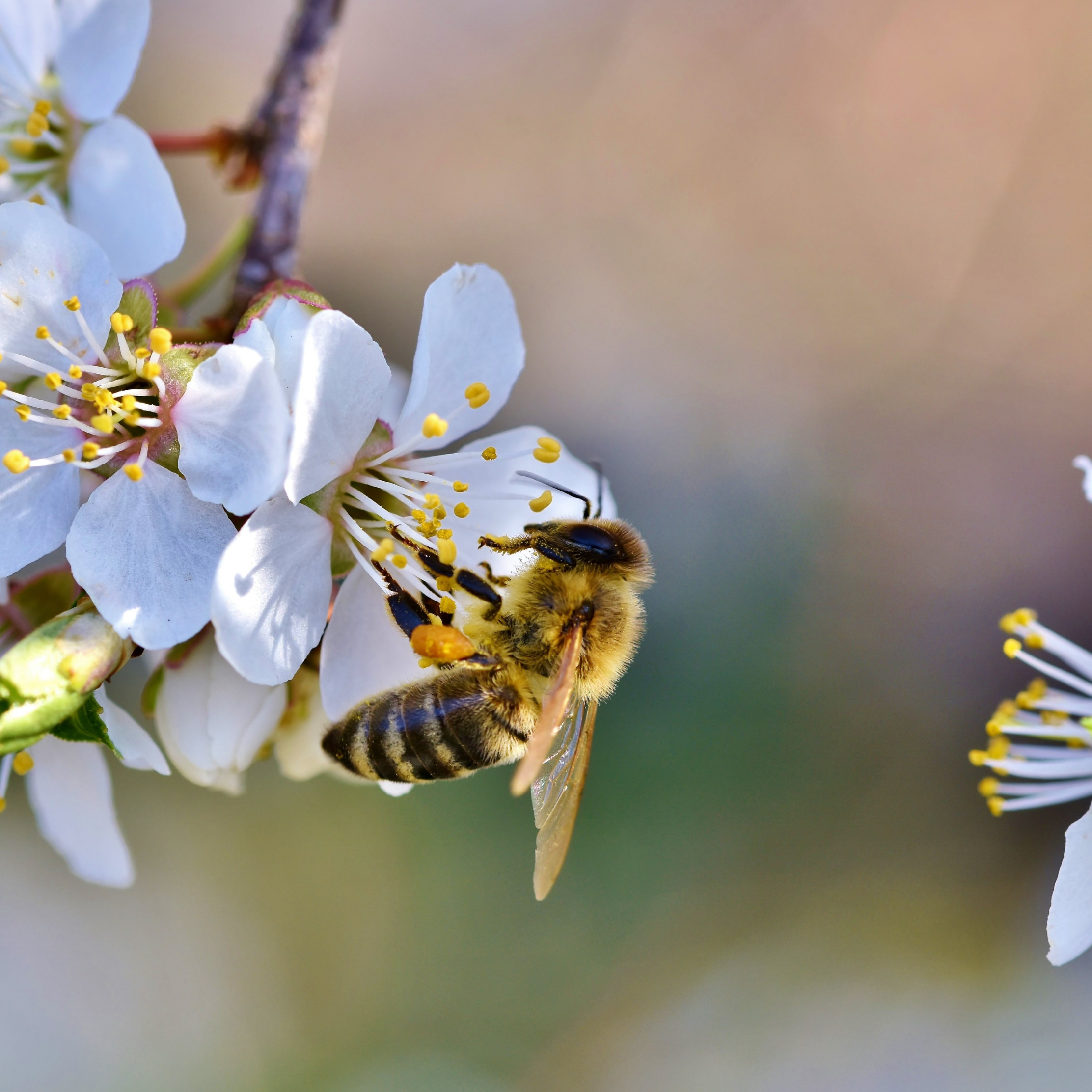 Spring, bee, blossoms, flower wallpaper 2224x2224