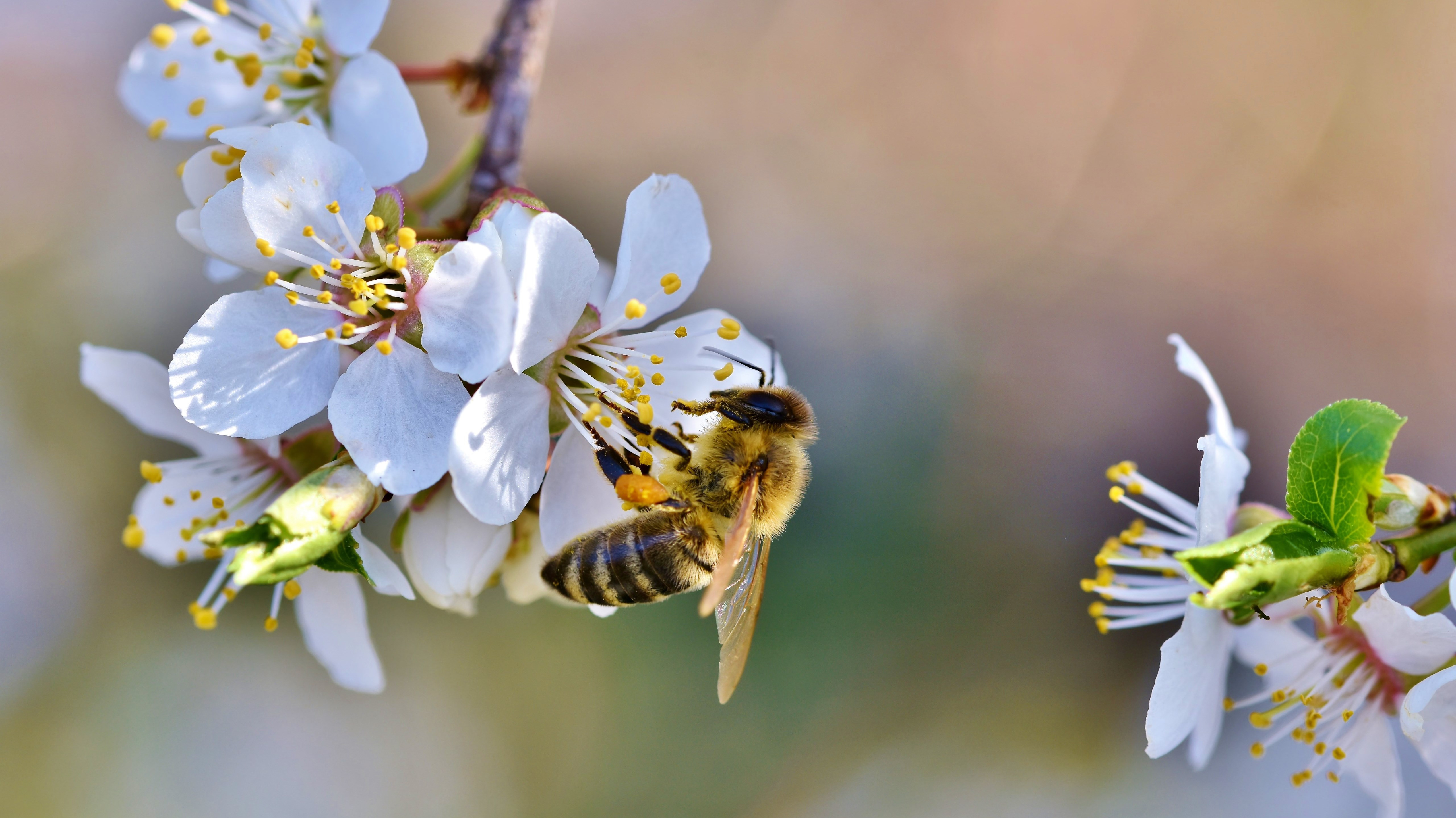 Spring, bee, blossoms, flower wallpaper 5120x2880