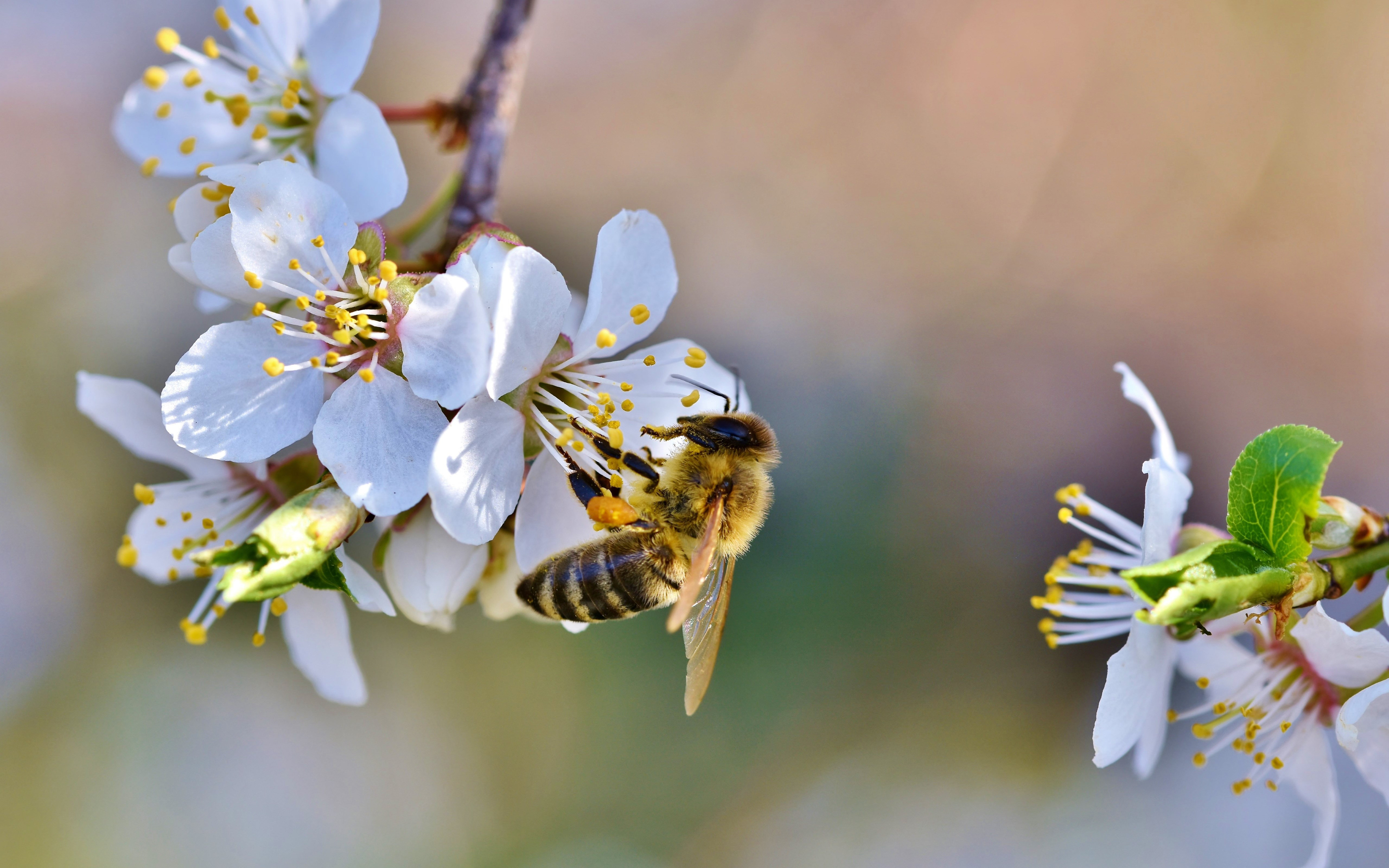Spring, bee, blossoms, flower wallpaper 5120x3200