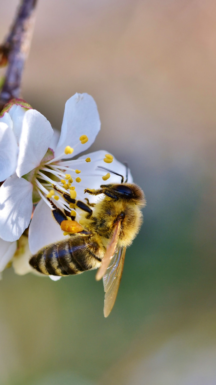 Spring, bee, blossoms, flower wallpaper 750x1334