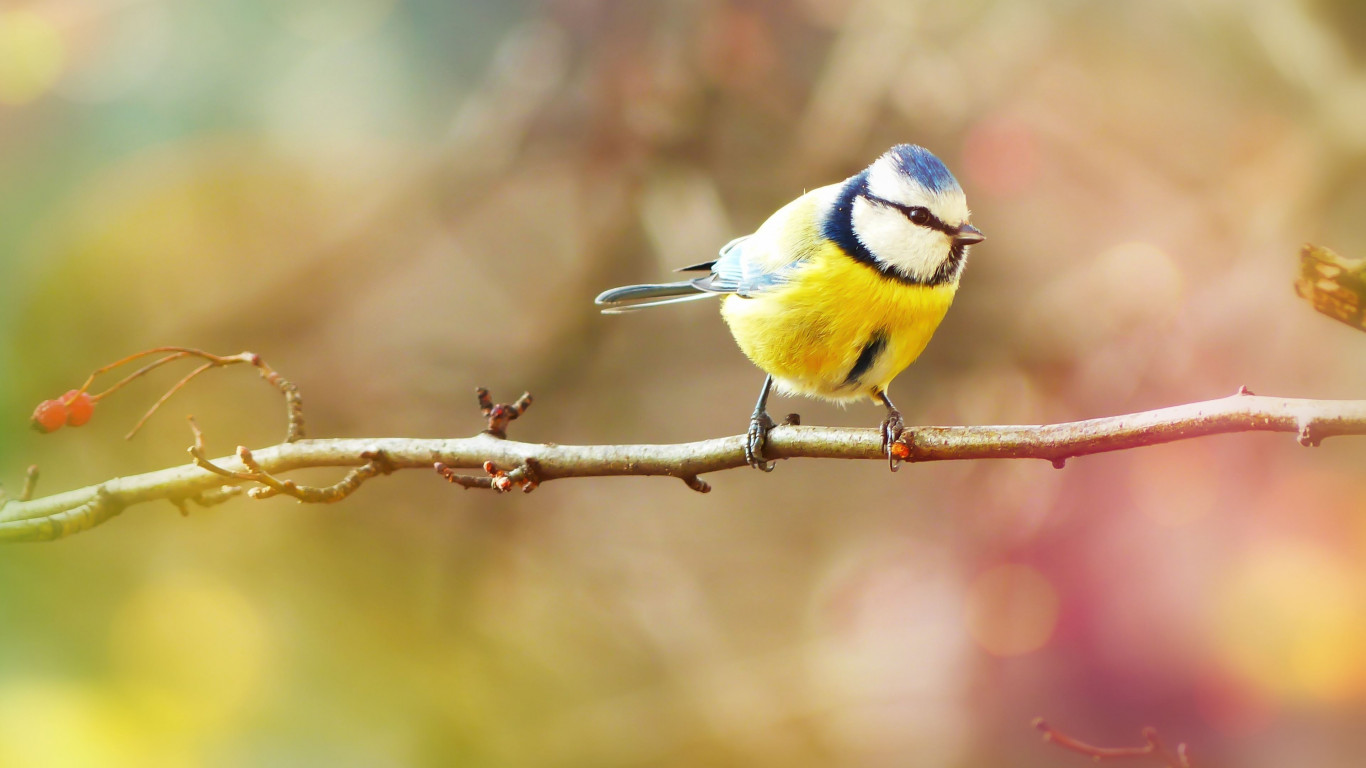 Crested Tit wallpaper 1366x768