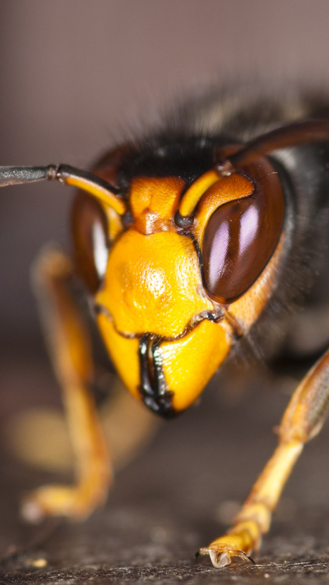 Asian hornet wallpaper 1080x1920