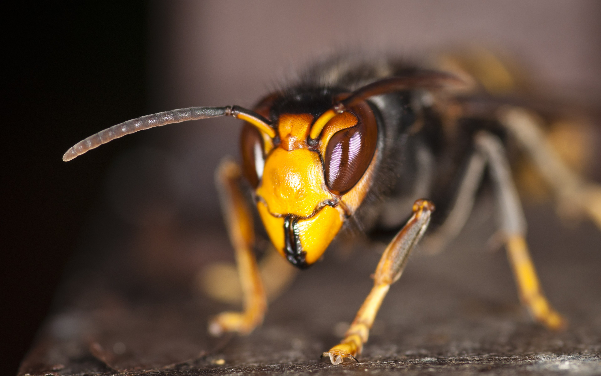 Asian hornet wallpaper 2560x1600