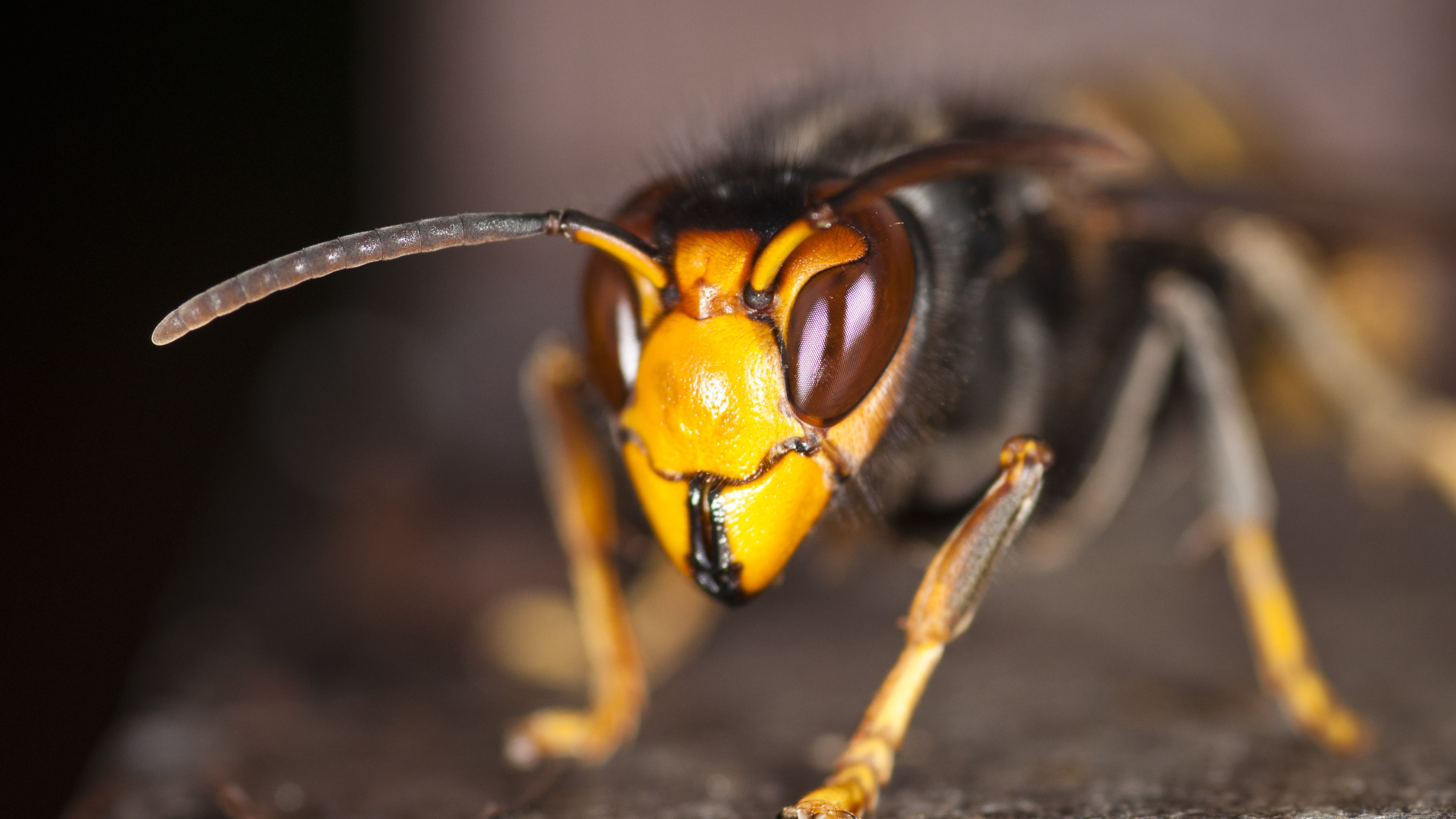 Asian hornet wallpaper 3840x2160
