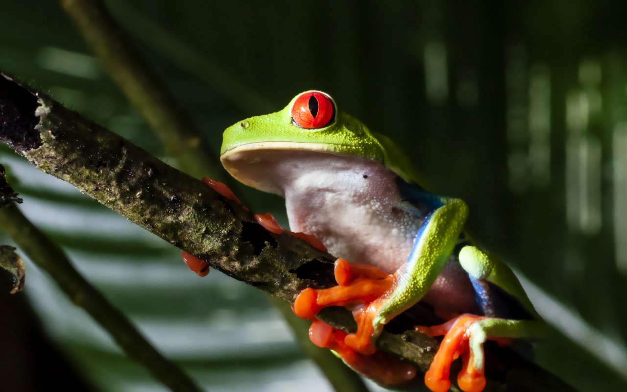 Red eyed tree frog wallpaper 1280x800