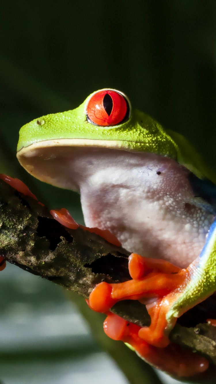 Red eyed tree frog wallpaper 750x1334