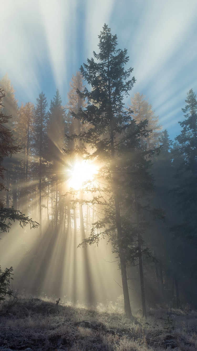 Sun rays through forest trees wallpaper 750x1334