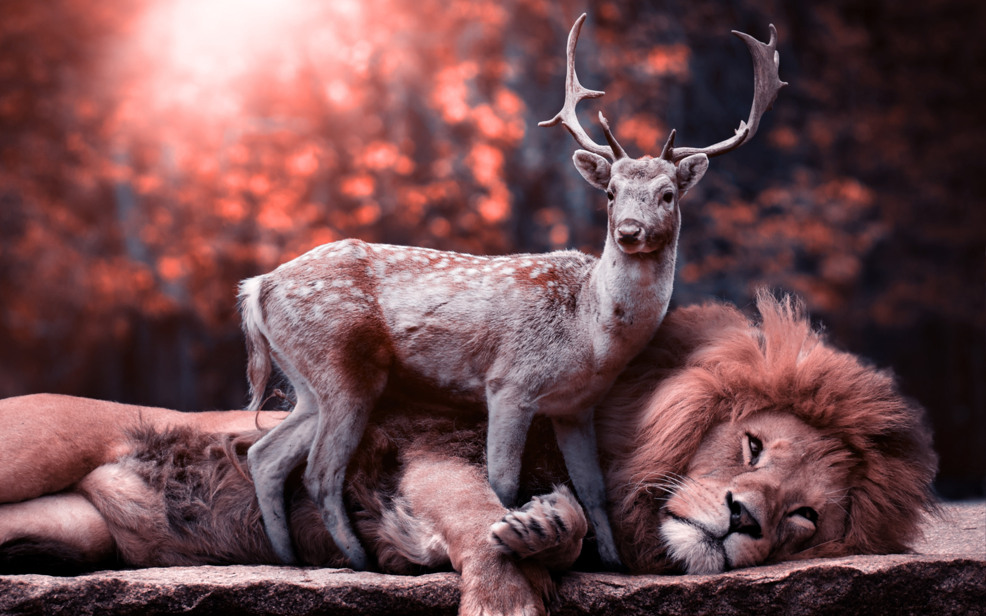 The lion and the deer wallpaper 3840x2400