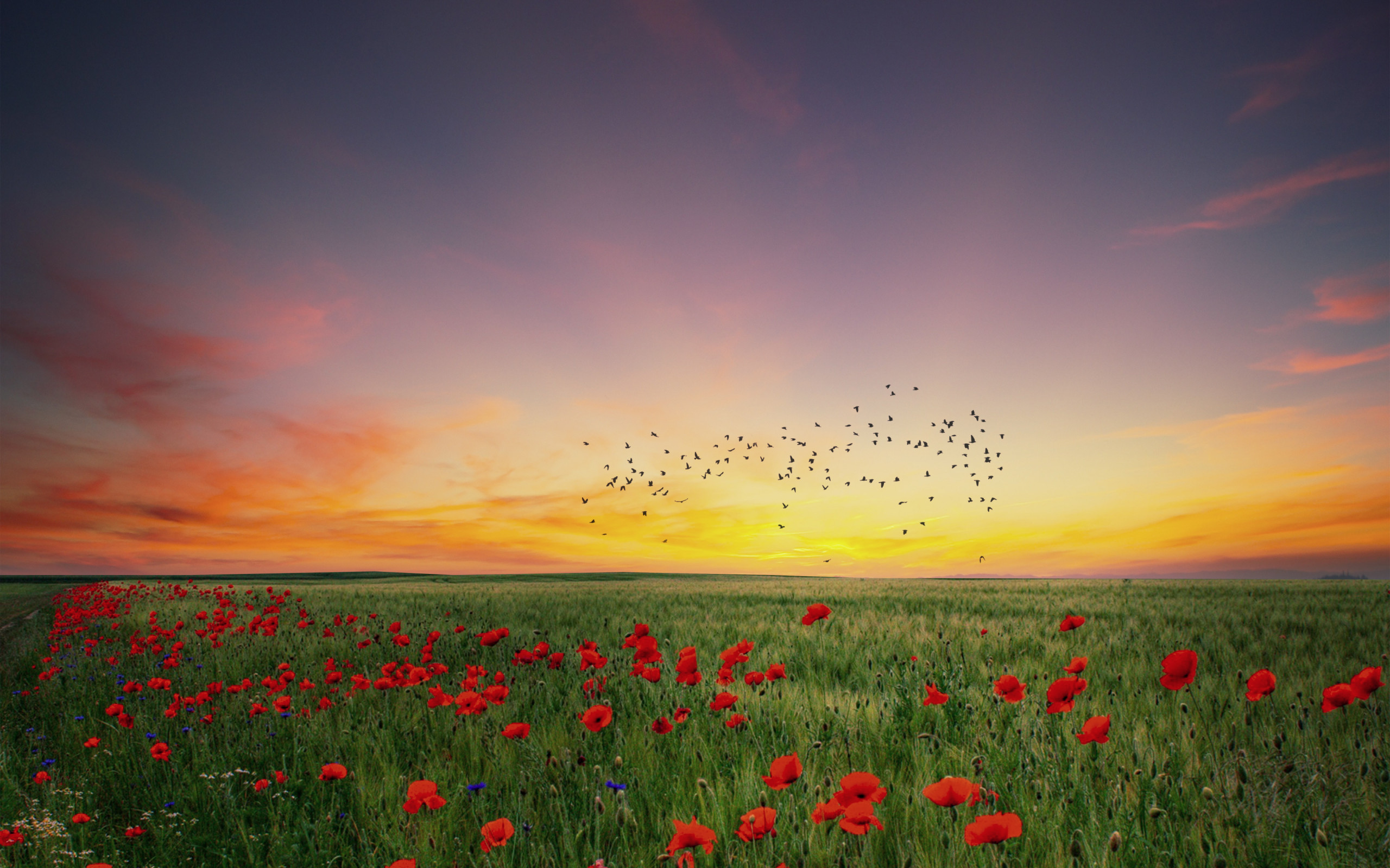 In the poppies field wallpaper 2560x1600