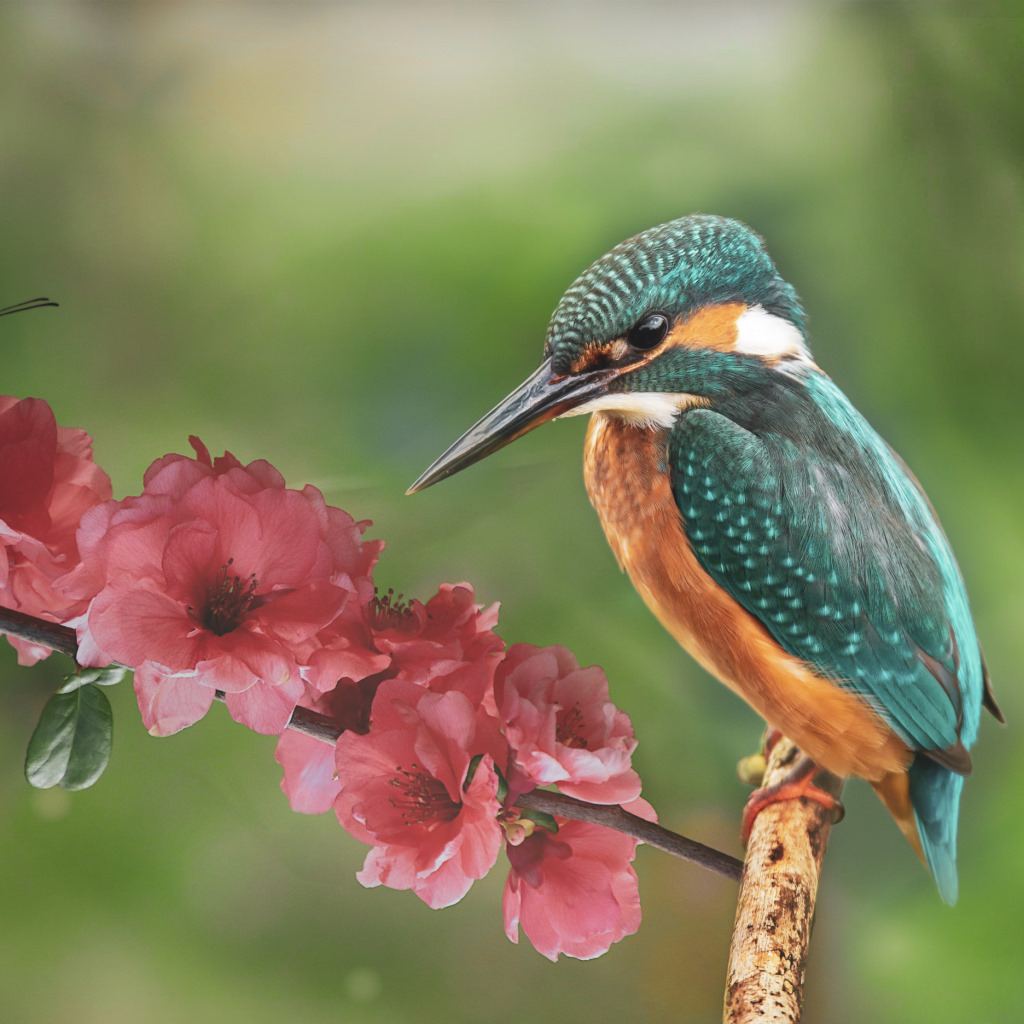 Kingfisher and the butterfly wallpaper 1024x1024