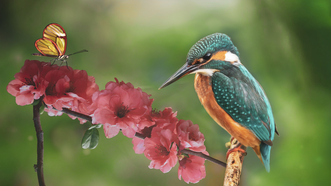 Kingfisher and the butterfly wallpaper 1280x720